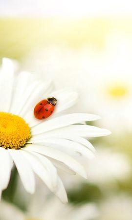 22969 скачать обои Растения, Цветы, Насекомые, Ромашки, Божьи Коровки - заставки и картинки бесплатно