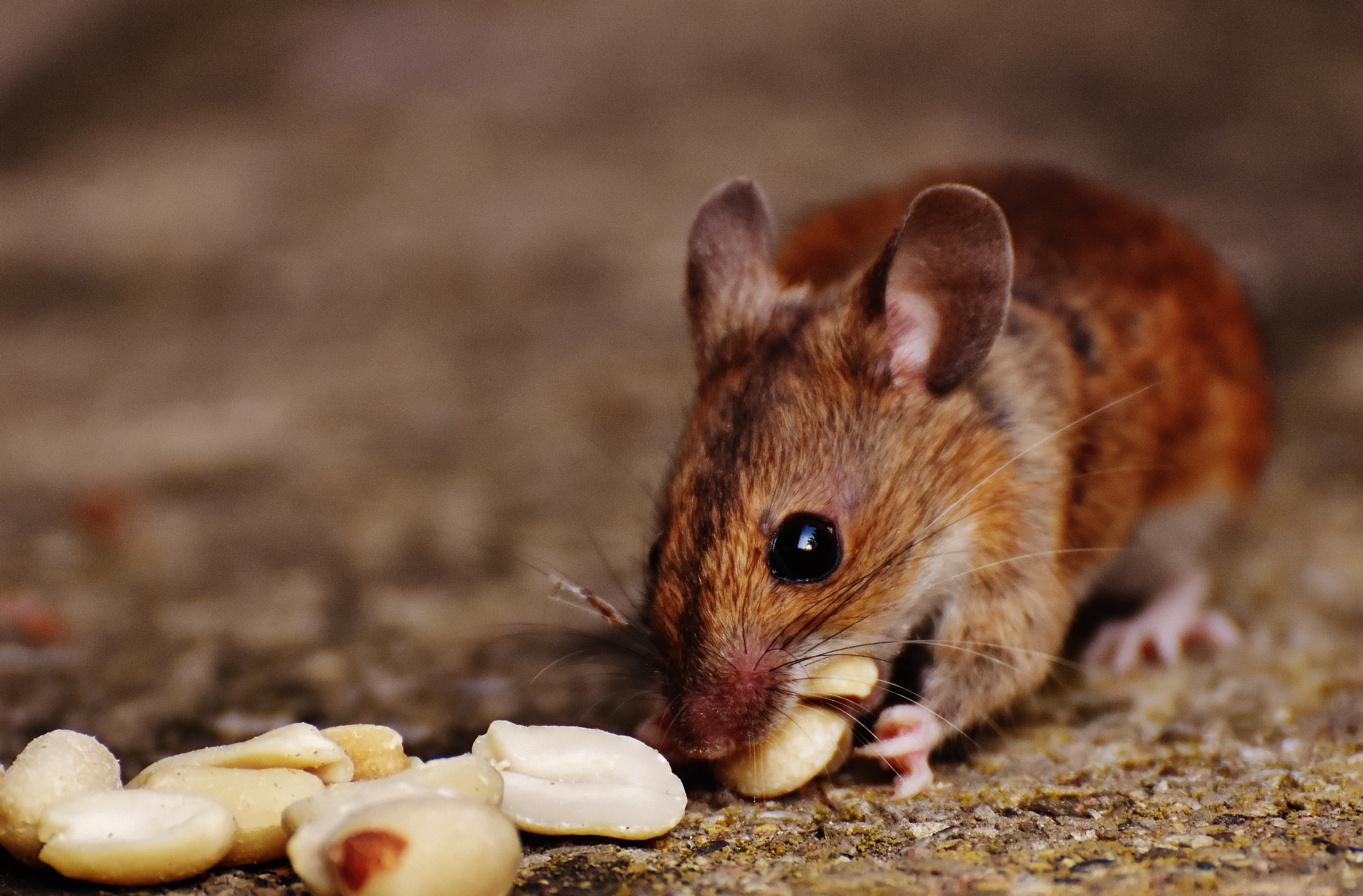 93142 download wallpaper Animals, European Mouse, Mouse, Rodent, Nuts, Food screensavers and pictures for free