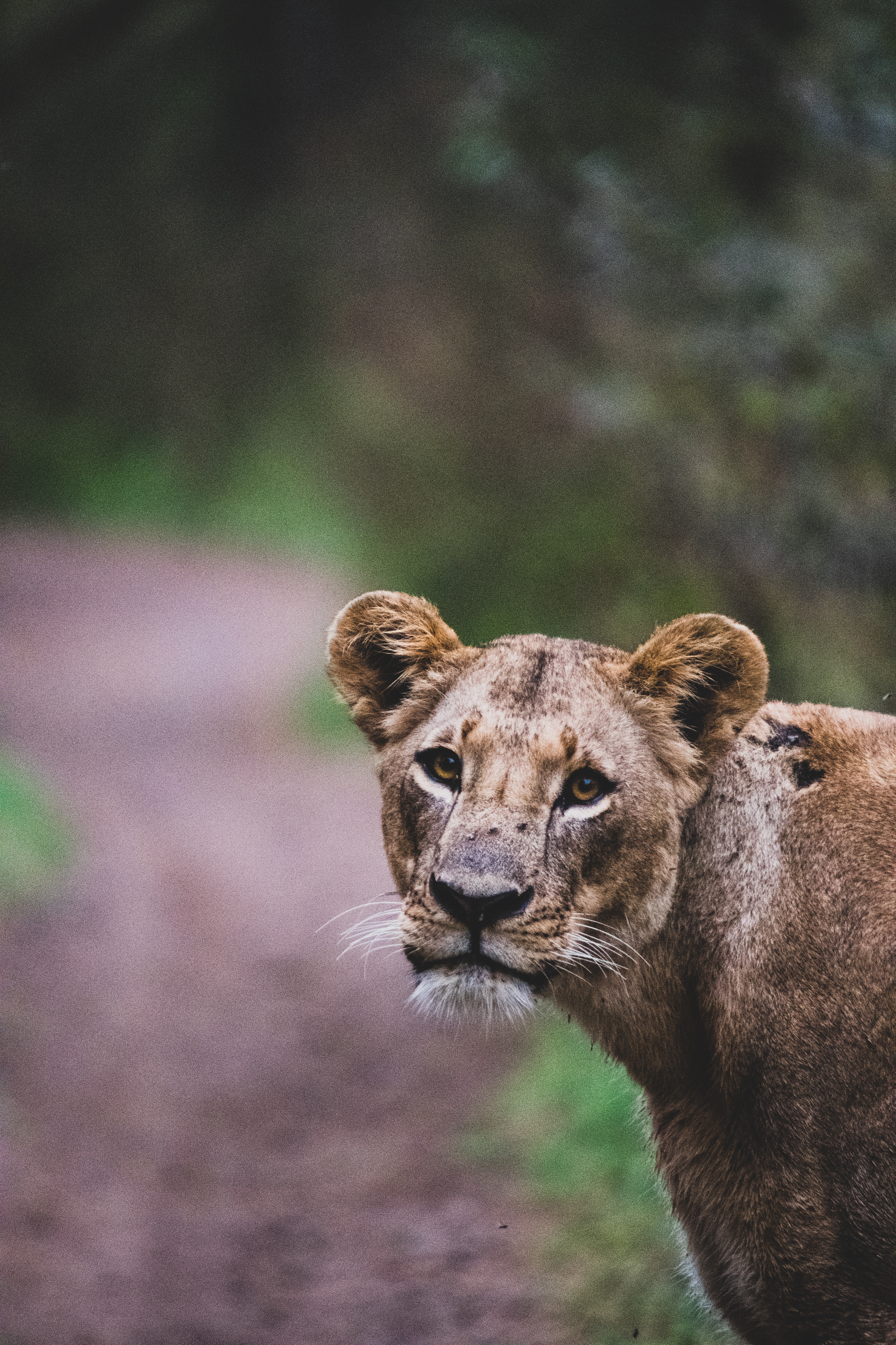 156909 download wallpaper Animals, Lioness, Lion, Big Cat, Sight, Opinion, Predator, Wildlife screensavers and pictures for free
