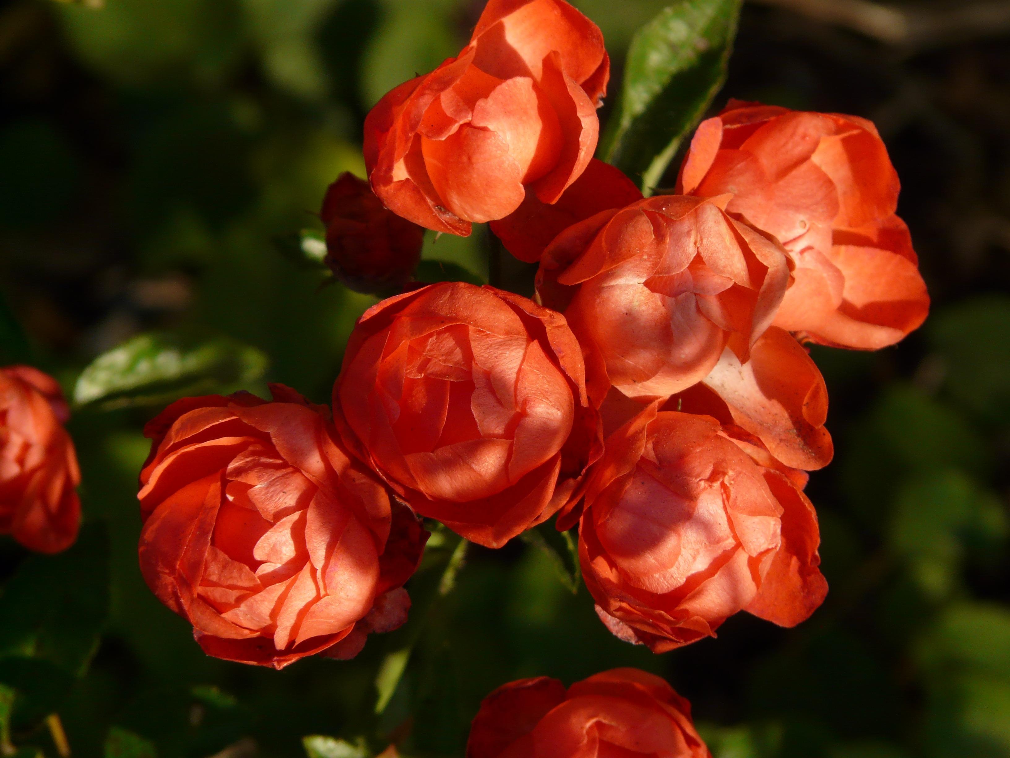 65055 скачать обои Цветы, Бутоны, Лепестки, Розы - заставки и картинки бесплатно