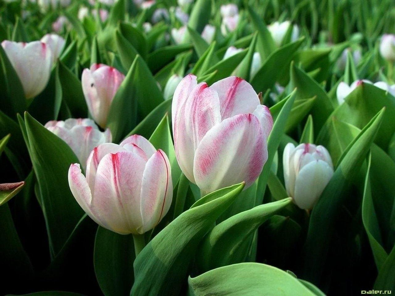 8955 скачать обои Растения, Цветы, Тюльпаны - заставки и картинки бесплатно