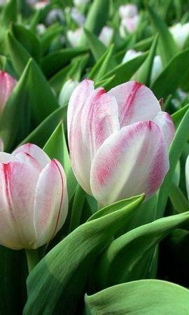 8955 télécharger le fond d'écran Plantes, Fleurs, Tulipes - économiseurs d'écran et images gratuitement