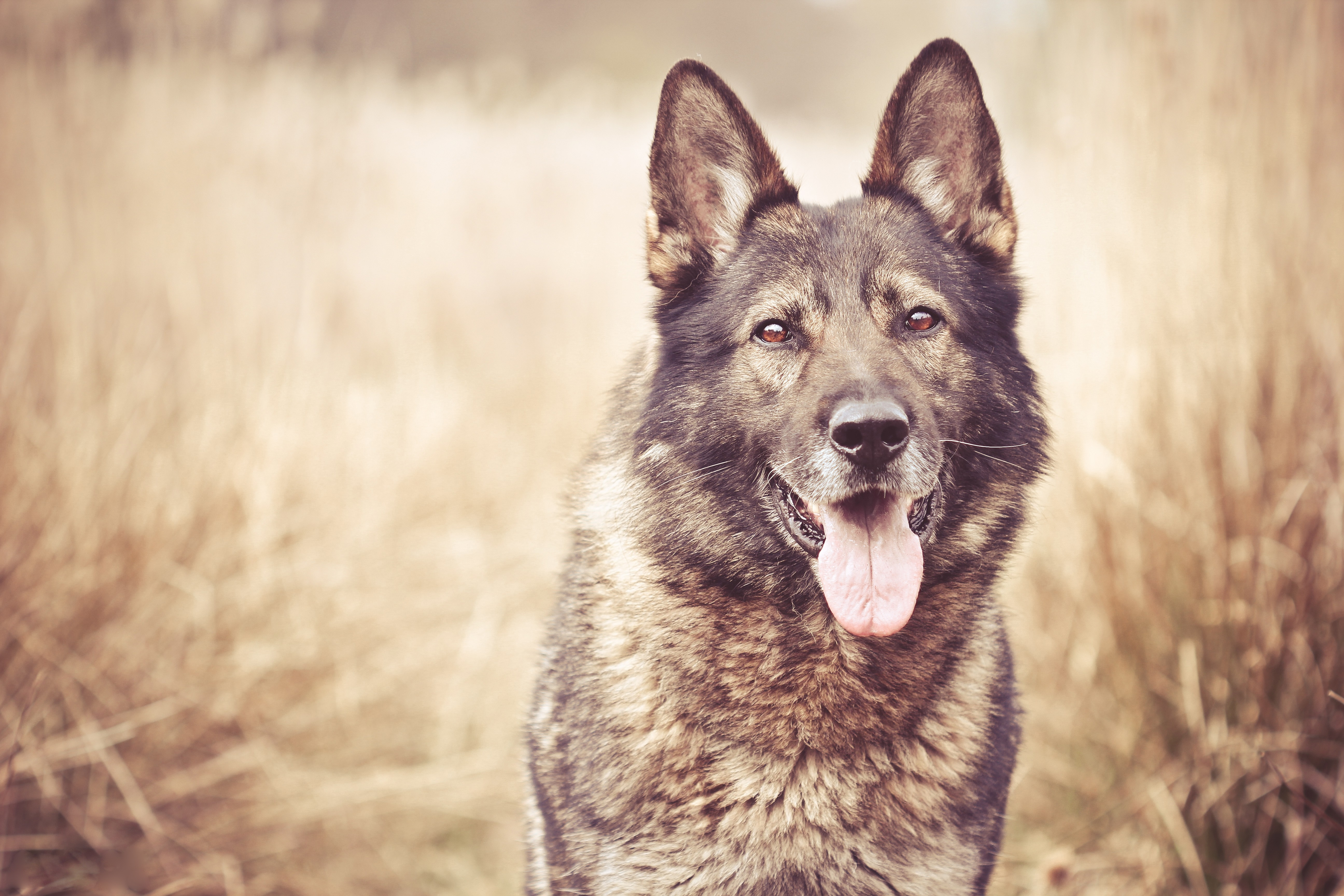 87652 download wallpaper Animals, Grass, Dog, Muzzle, Blur, Smooth screensavers and pictures for free
