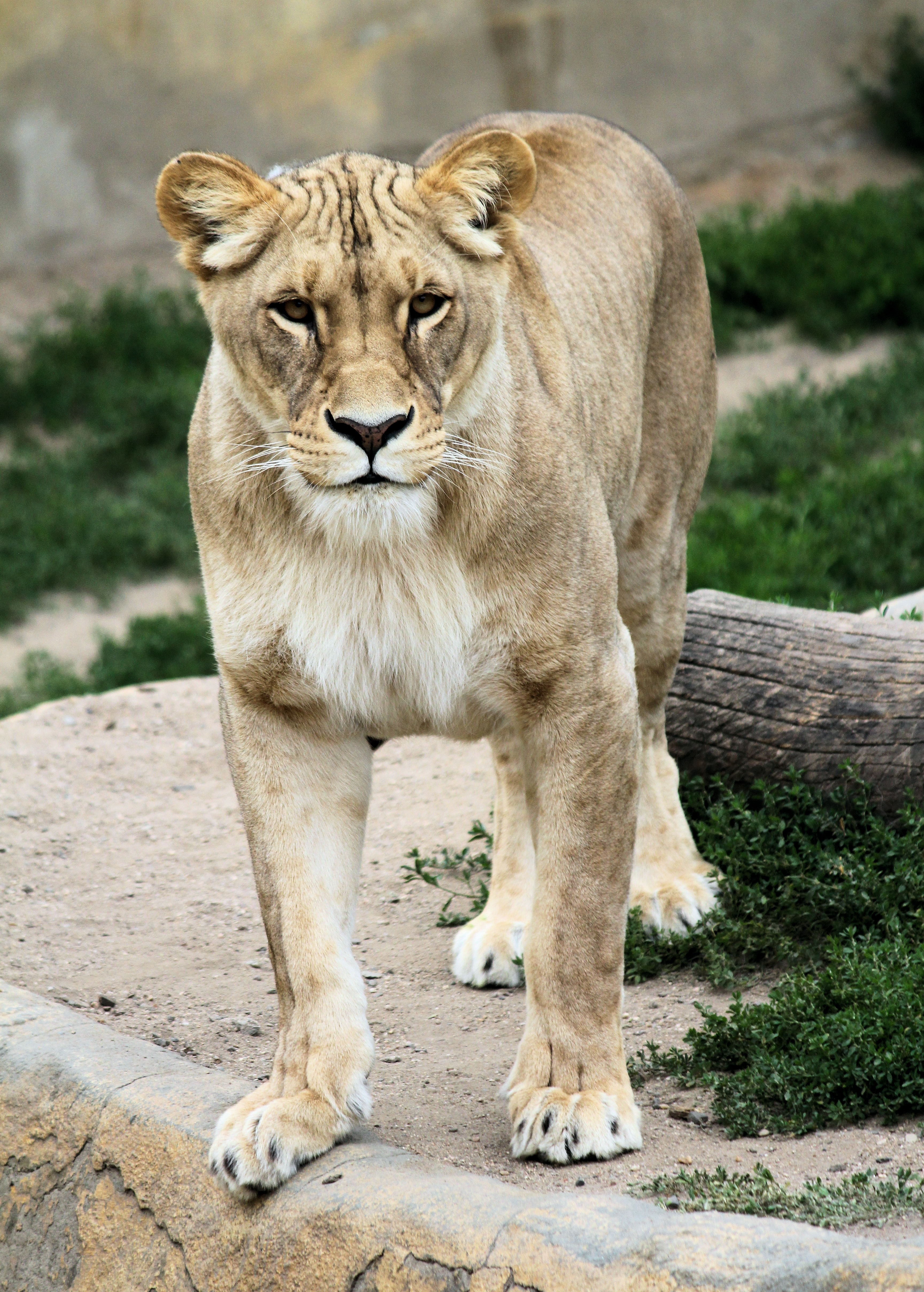 141411 download wallpaper Animals, Lioness, Animal, Predator, Big Cat screensavers and pictures for free