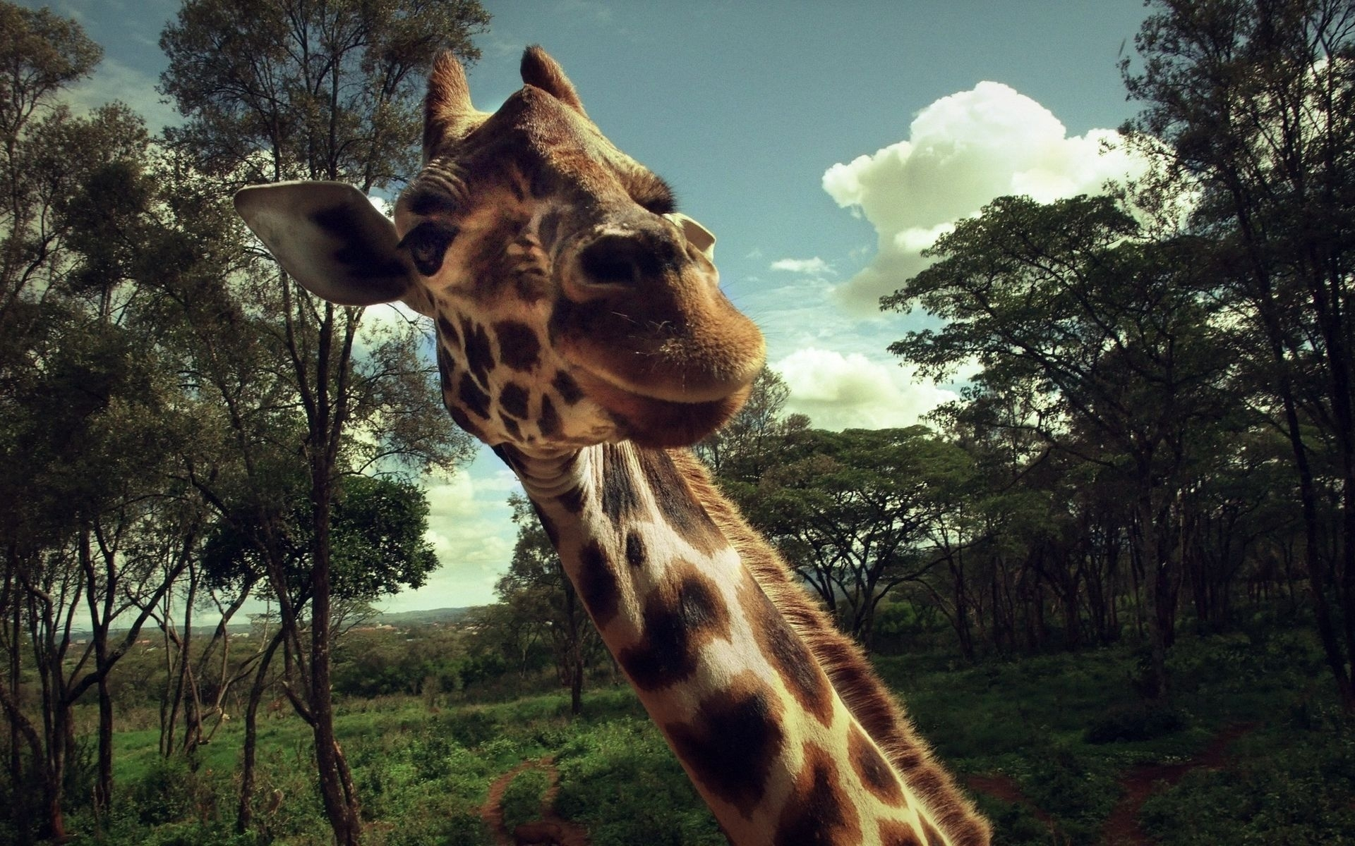 49147 download wallpaper Animals, Giraffes screensavers and pictures for free