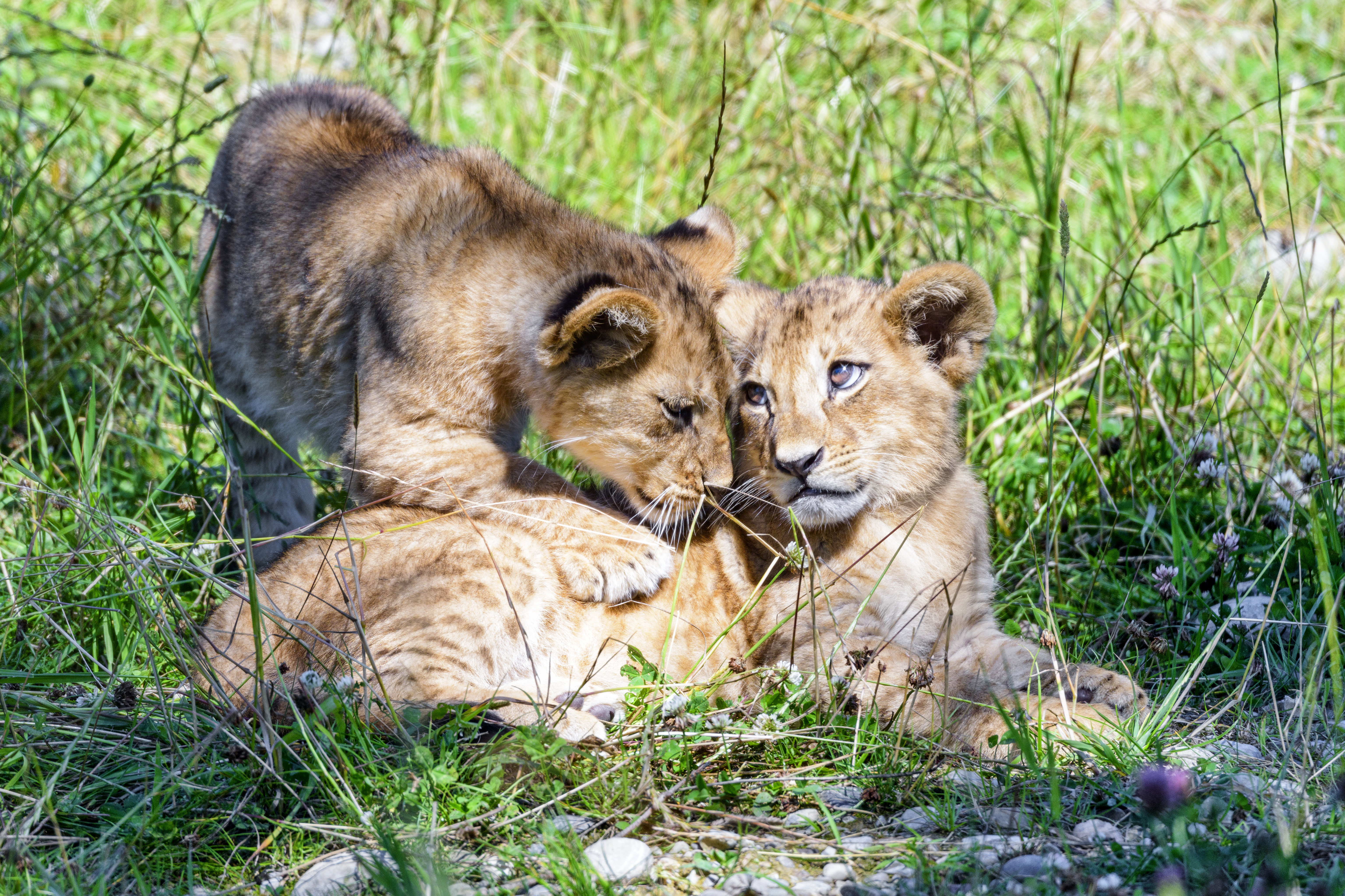 93695 download wallpaper Animals, Lioness, Young, Joey, Family, Nicely, Nice, Care screensavers and pictures for free