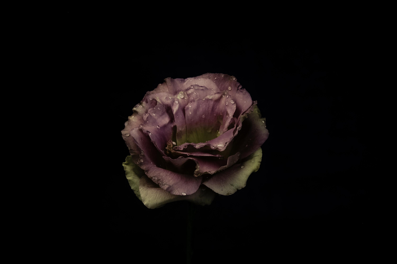 71437 скачать обои Темные, Садовая Роза, Роза, Бутон, Капли, Темный Фон - заставки и картинки бесплатно