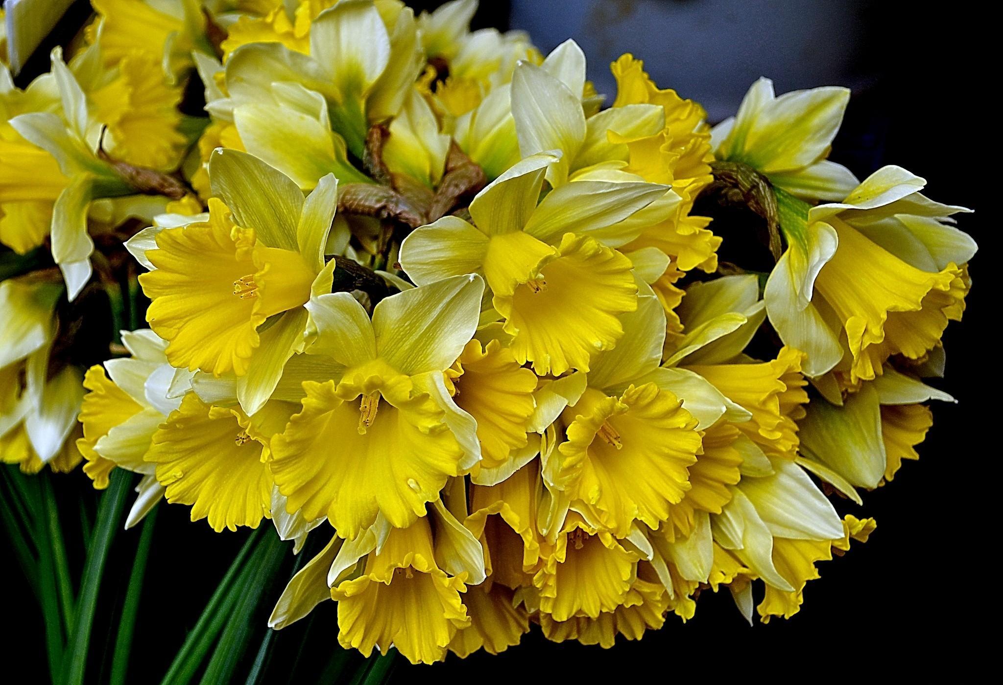 136464 Заставки и Обои Нарциссы на телефон. Скачать Весна, Цветы, Нарциссы, Букет картинки бесплатно