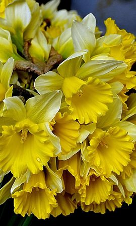 136464 скачать Желтые обои на телефон бесплатно, Цветы, Букет, Весна, Нарциссы Желтые картинки и заставки на мобильный