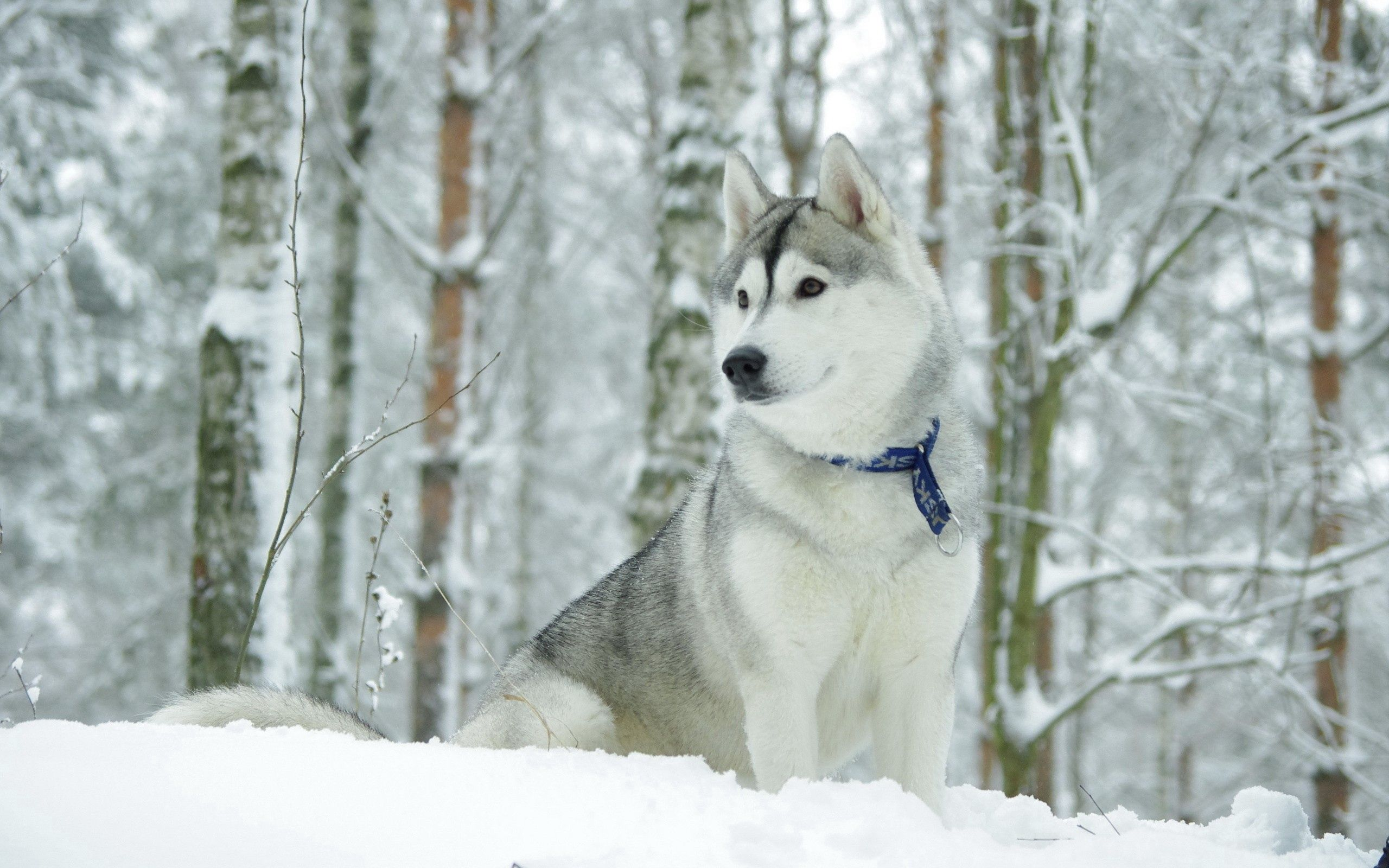 152565 Screensavers and Wallpapers Husky for phone. Download Animals, Snow, Dog, Hunting, Hunt, Husky, Haska, Collar pictures for free