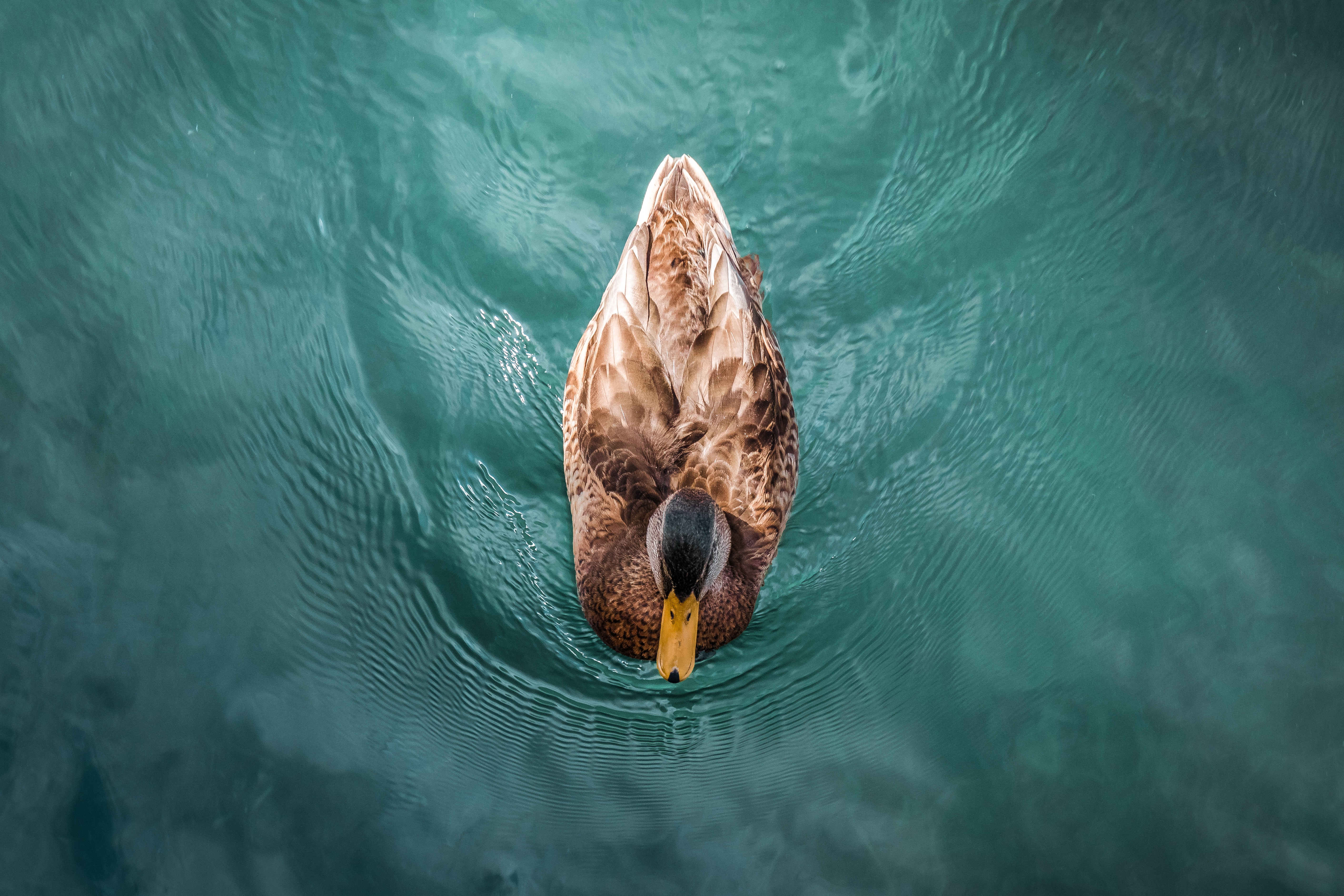 102346 download wallpaper Animals, Duck, Bird, Water, To Swim, Swim screensavers and pictures for free
