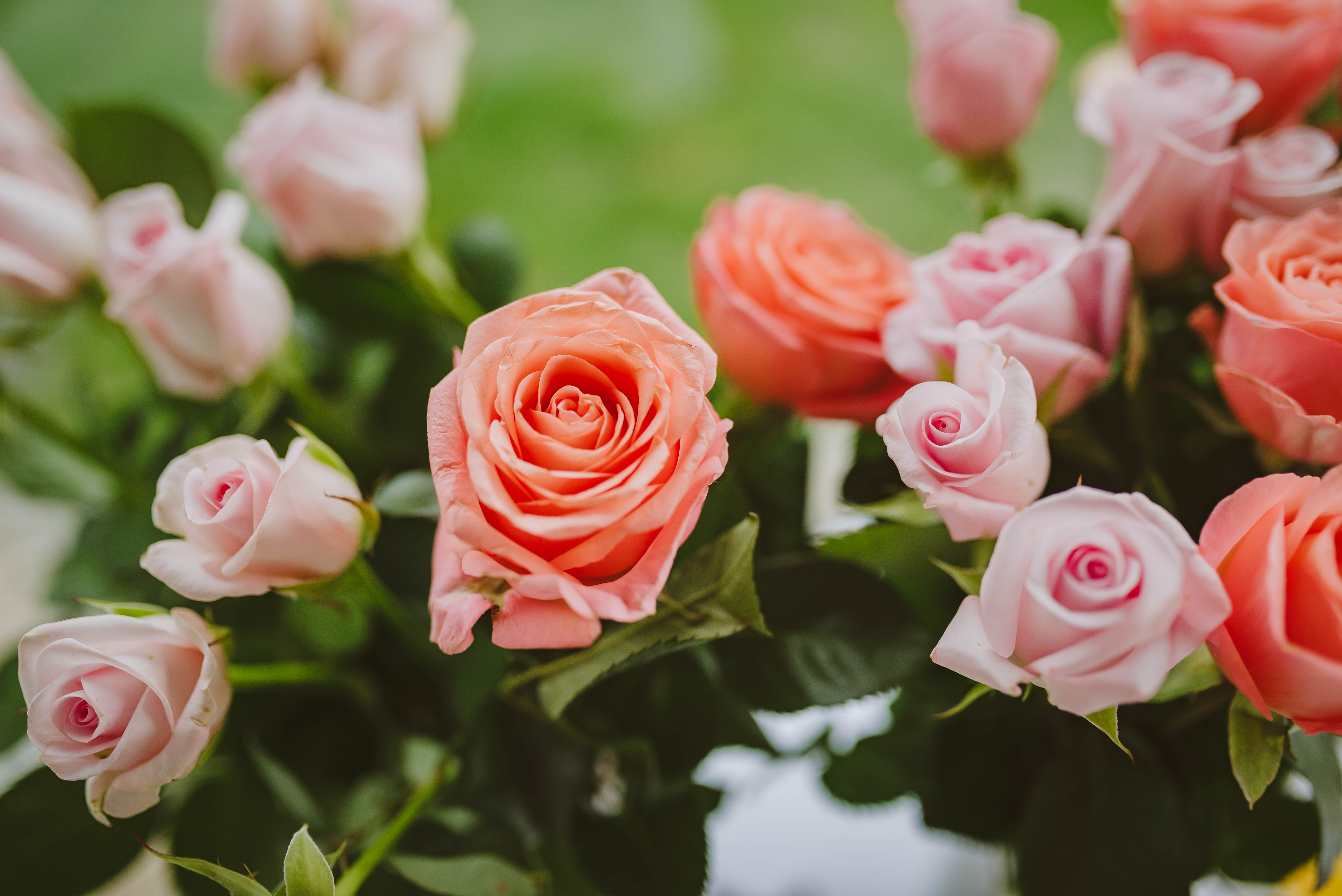 106083 download wallpaper Flowers, Pink, Bloom, Flowering, Plant, Roses screensavers and pictures for free