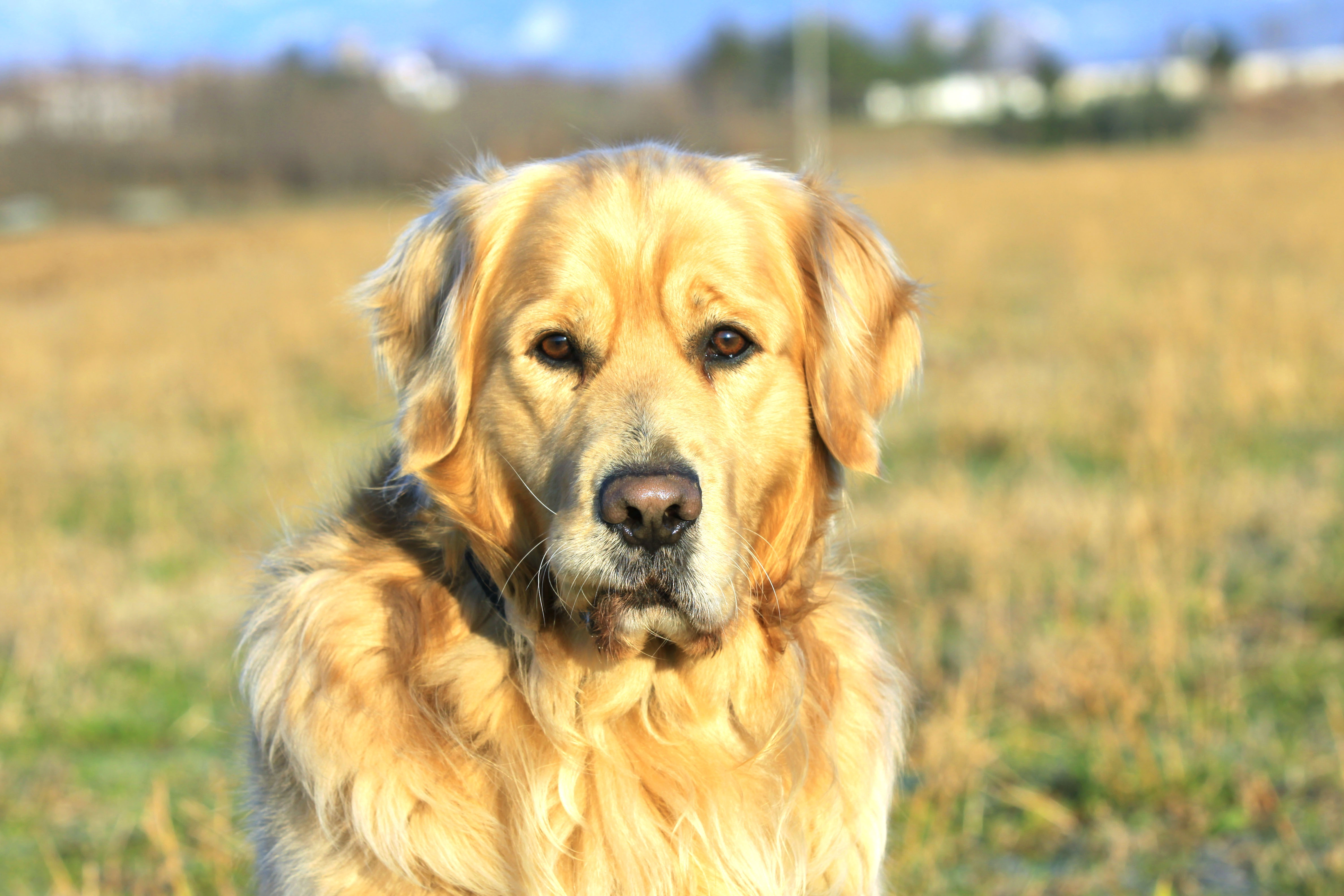 55559 download wallpaper Animals, Dog, Labrador, Muzzle, Collar screensavers and pictures for free