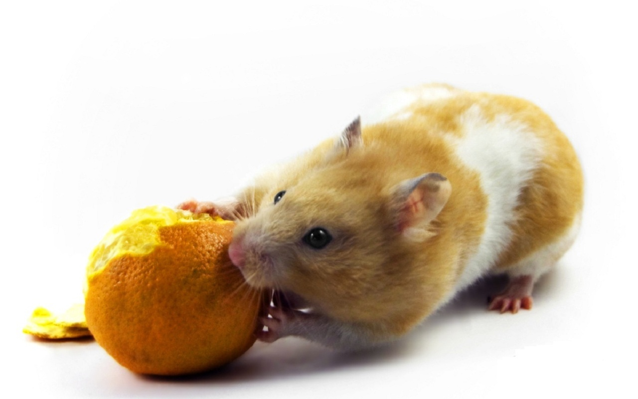 30348 Screensavers and Wallpapers Rodents for phone. Download Animals, Rodents pictures for free