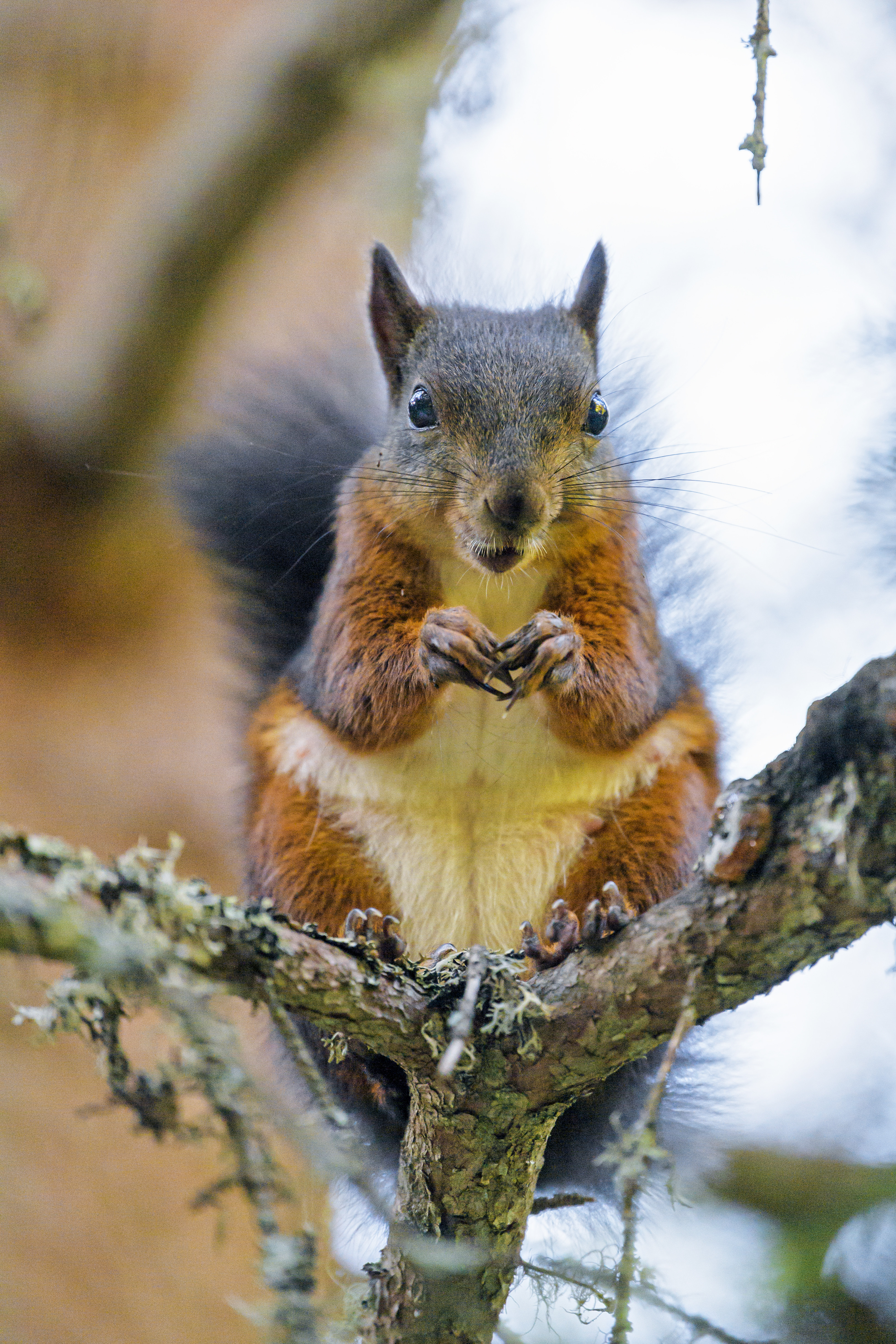 80611 download wallpaper Animals, Squirrel, Rodent, Animal, Wood, Tree screensavers and pictures for free