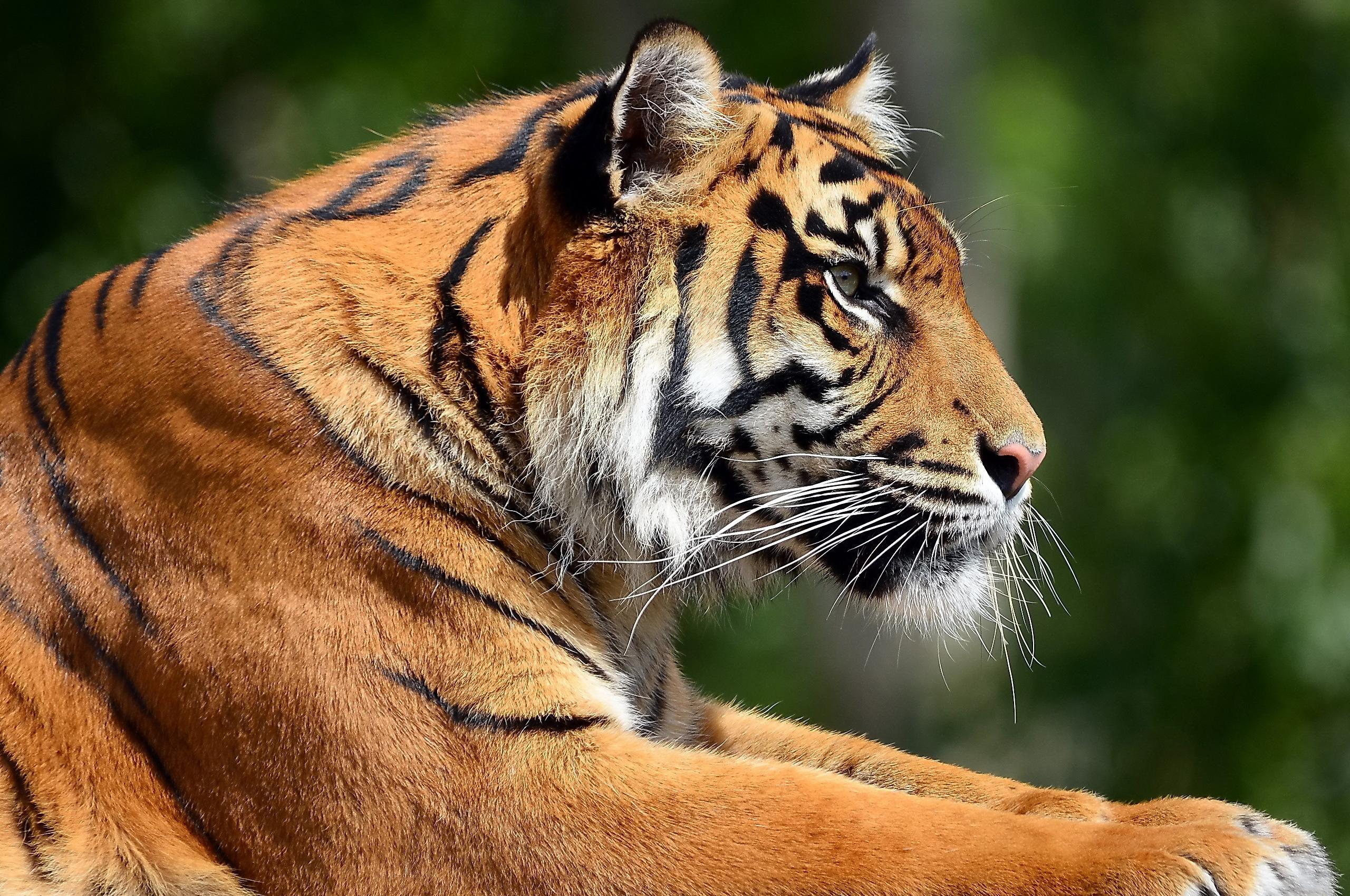 85955 скачать обои Животные, Тигр, Морда, Профиль, Лапы, Хищник - заставки и картинки бесплатно