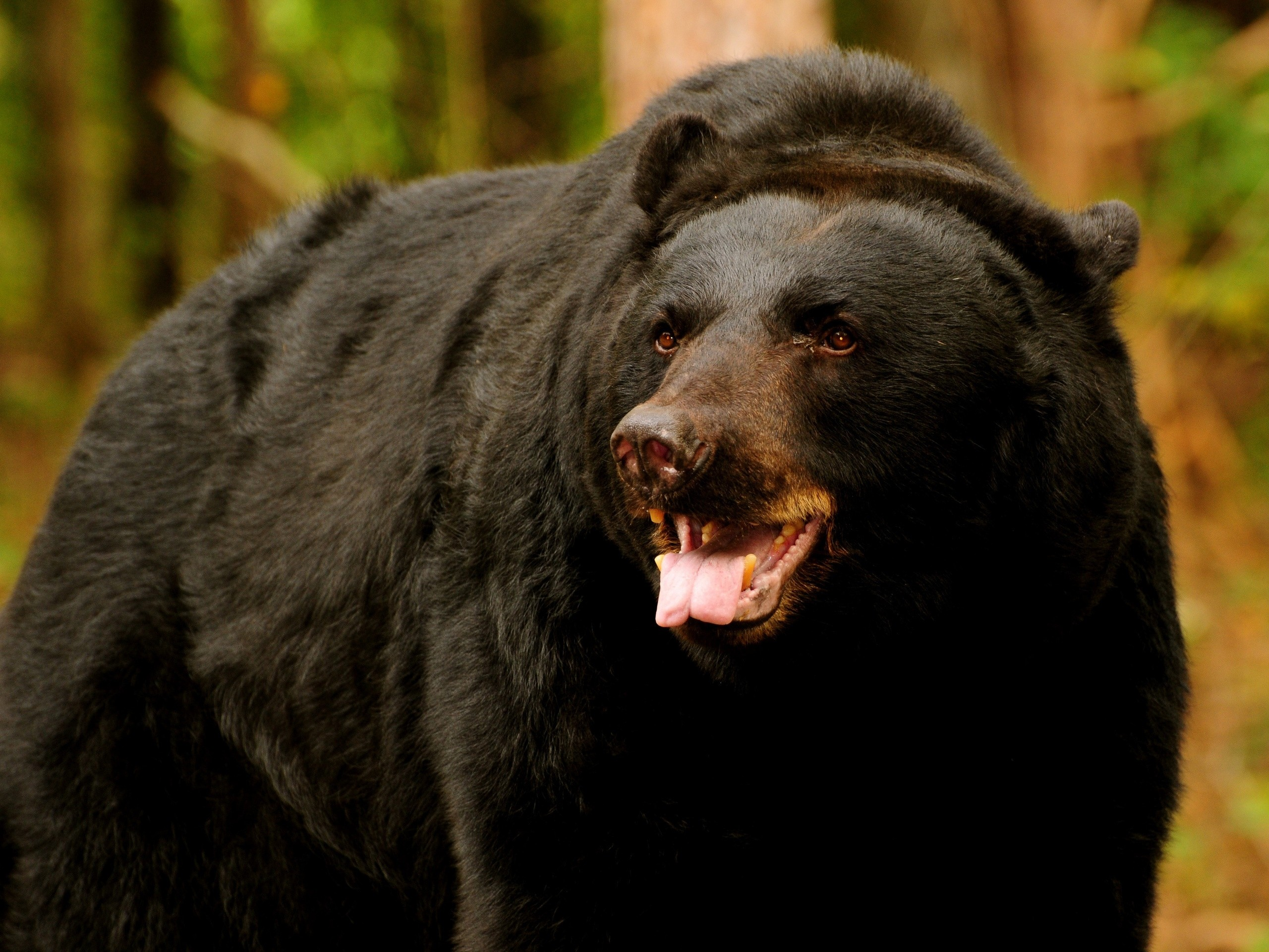 57015 Screensavers and Wallpapers Bear for phone. Download Animals, Brown, Bear, Predator, Open Mouth pictures for free