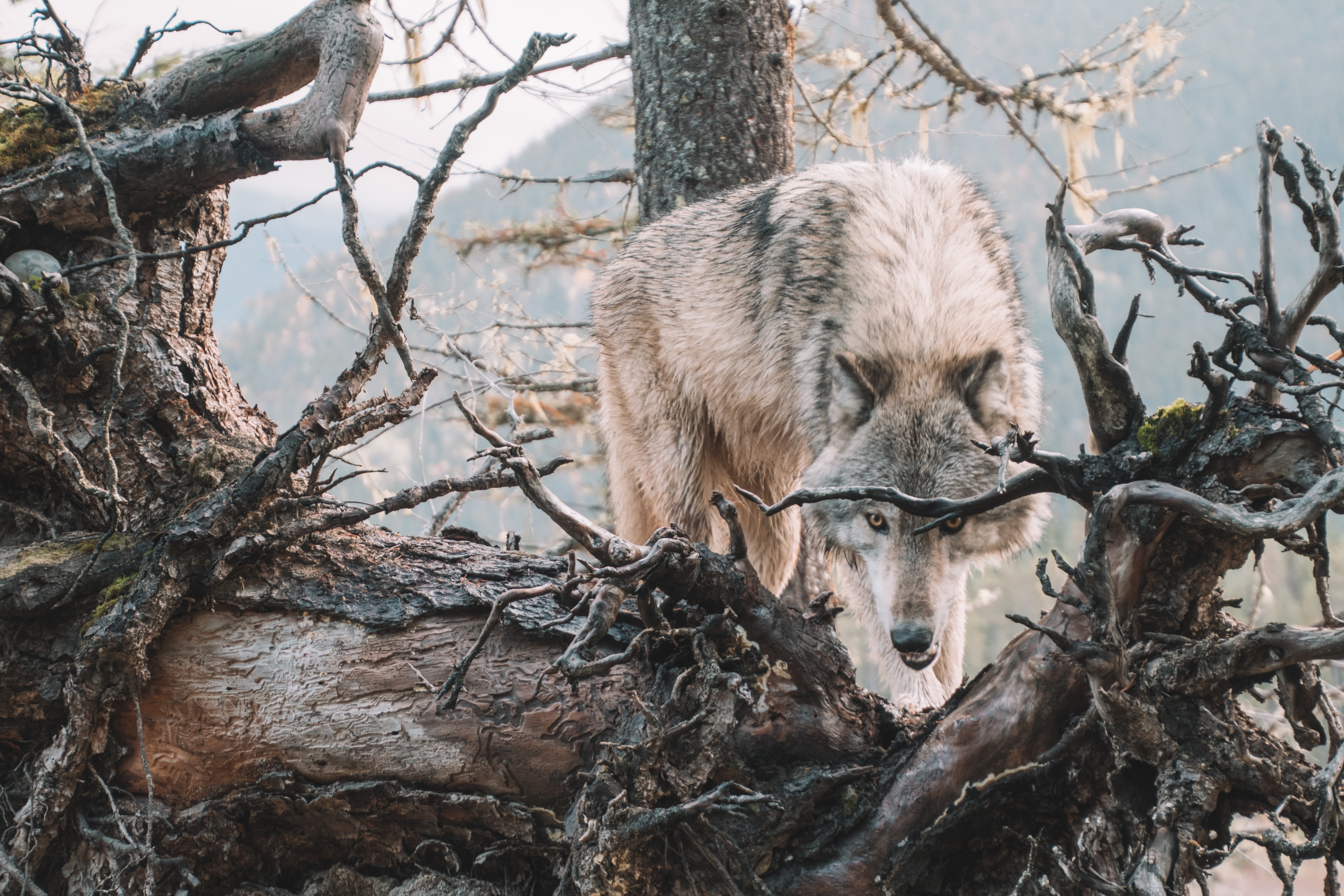 134775 download wallpaper Animals, Wolf, Predator, Grin, Wood, Tree, Branches, Wildlife screensavers and pictures for free