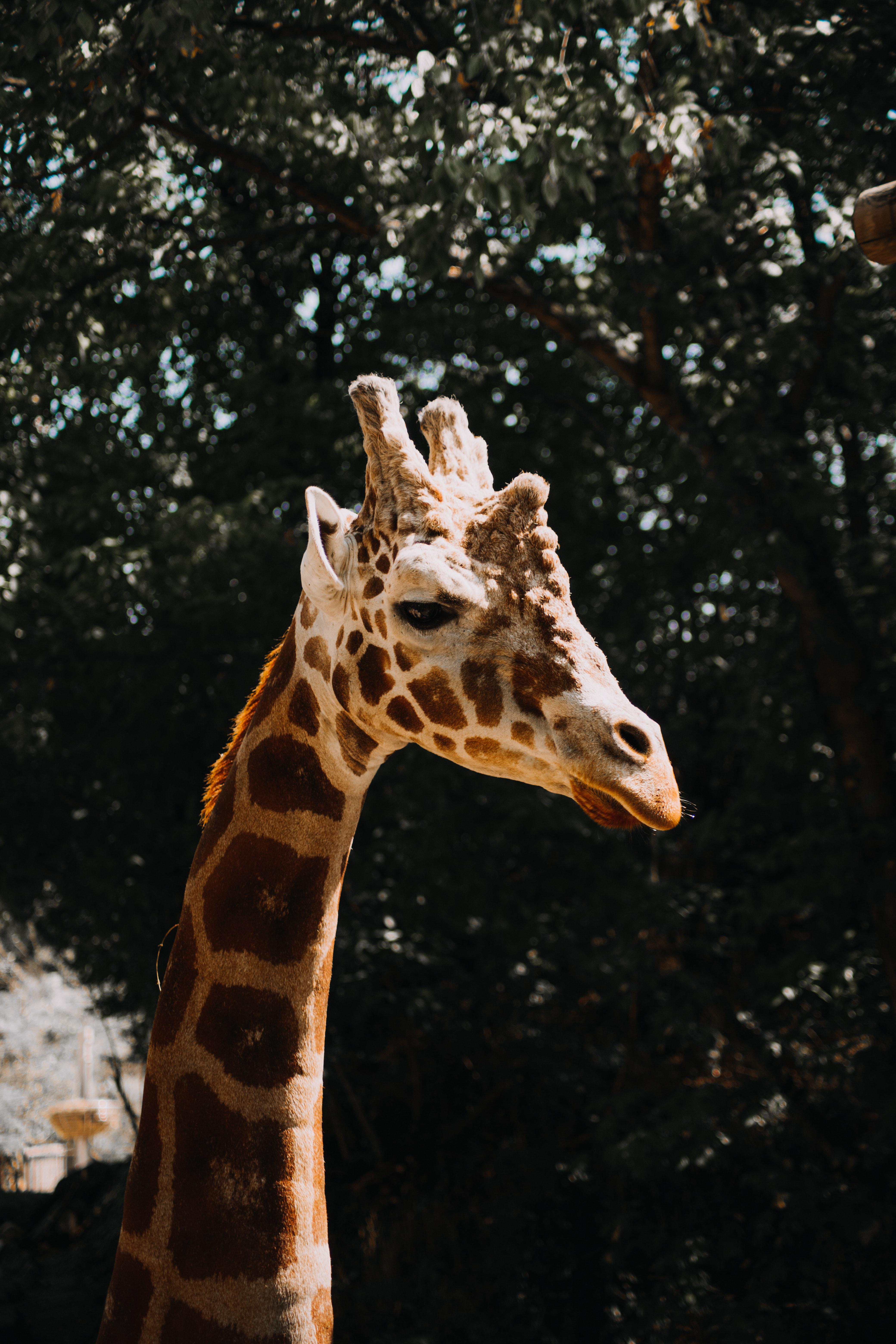 126012 免費下載壁紙 动物, 长颈鹿, 污渍, 轮廓, 简介 屏保和圖片