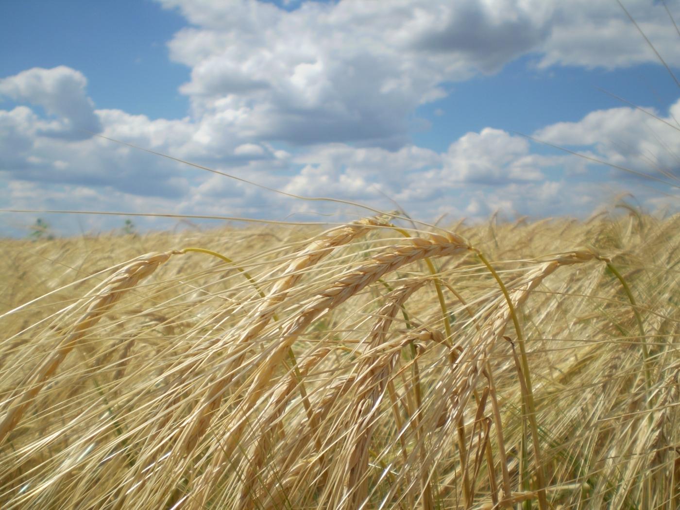 26249 скачать обои Пейзаж, Поля, Небо, Облака, Пшеница - заставки и картинки бесплатно