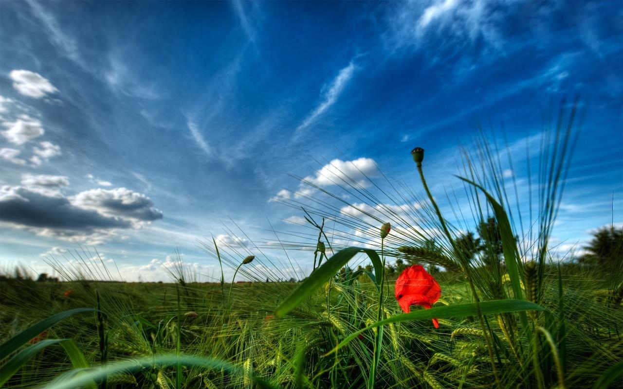 11115 скачать обои Растения, Пейзаж, Трава, Небо, Маки - заставки и картинки бесплатно