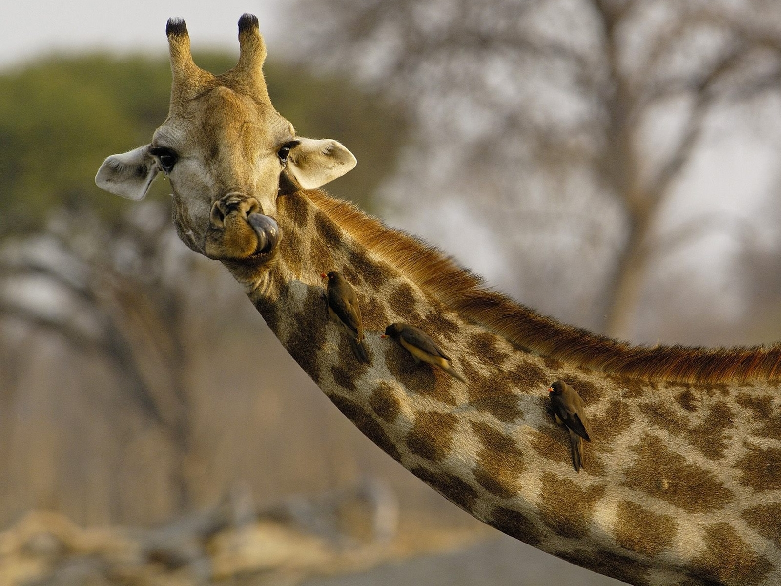 7547 download wallpaper Animals, Giraffes screensavers and pictures for free