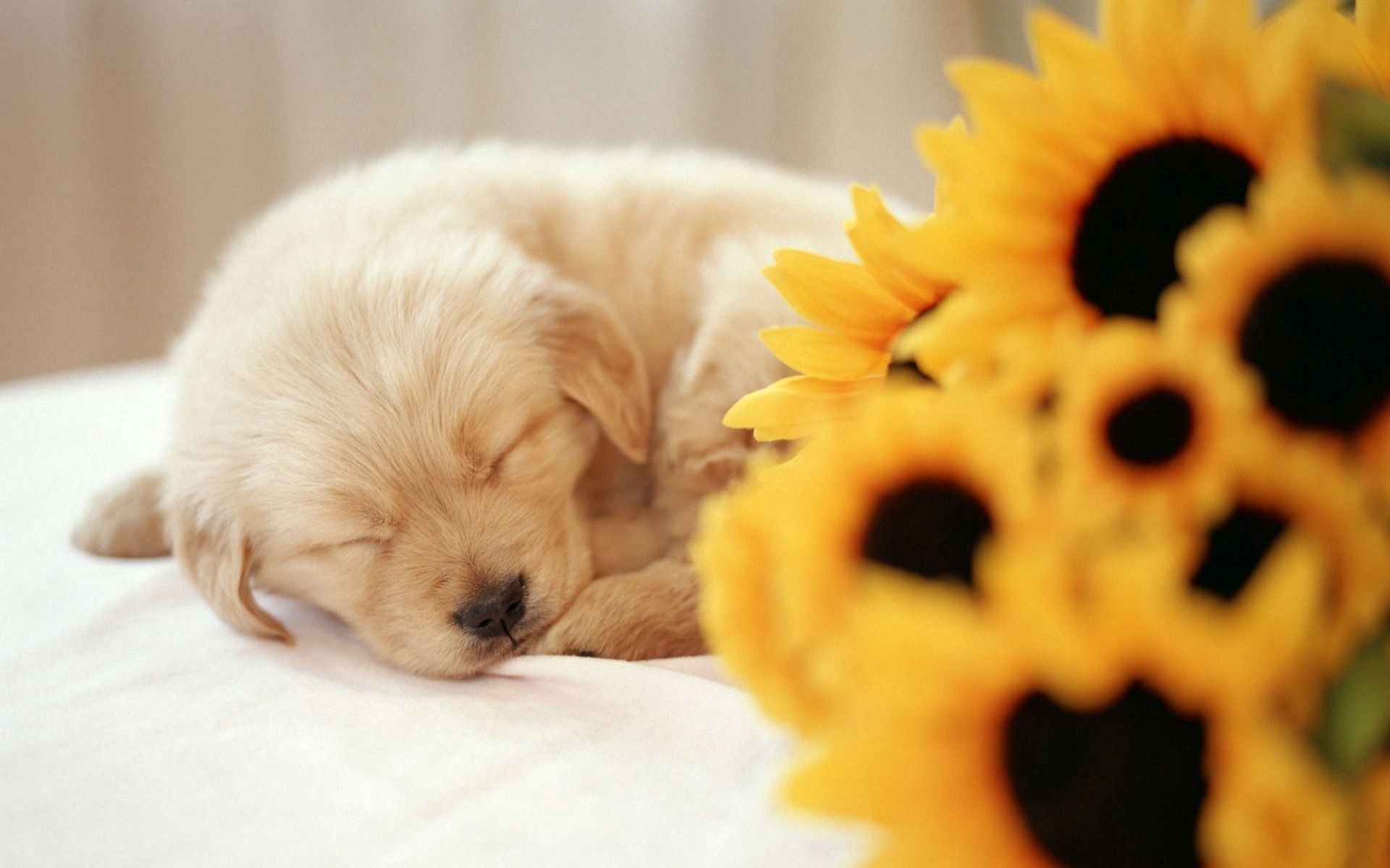 149096 download wallpaper Animals, Dog, Puppy, Flower, Muzzle, Sleep, Dream screensavers and pictures for free