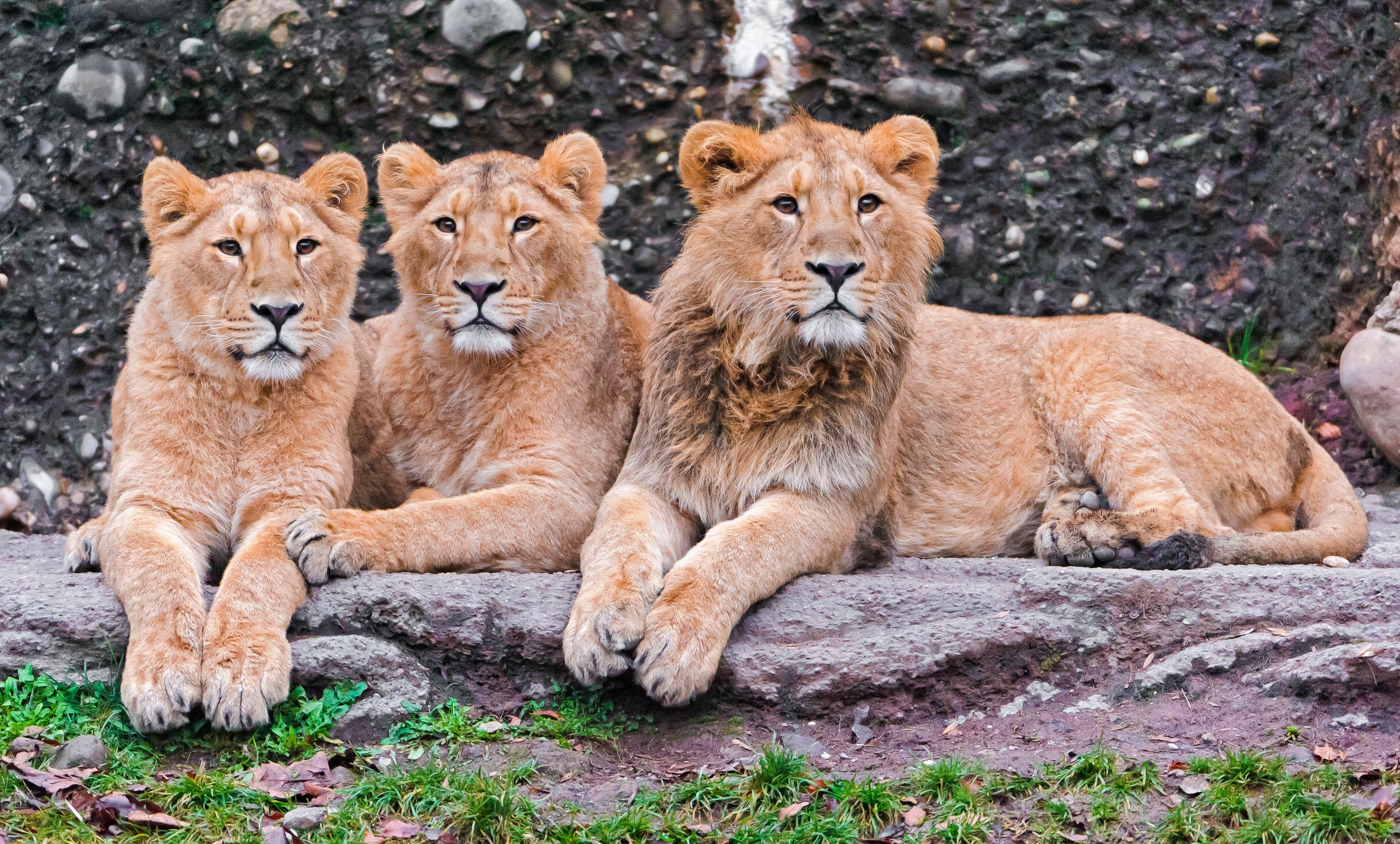 122027 download wallpaper Animals, Three, Sit, Predators, Lions screensavers and pictures for free
