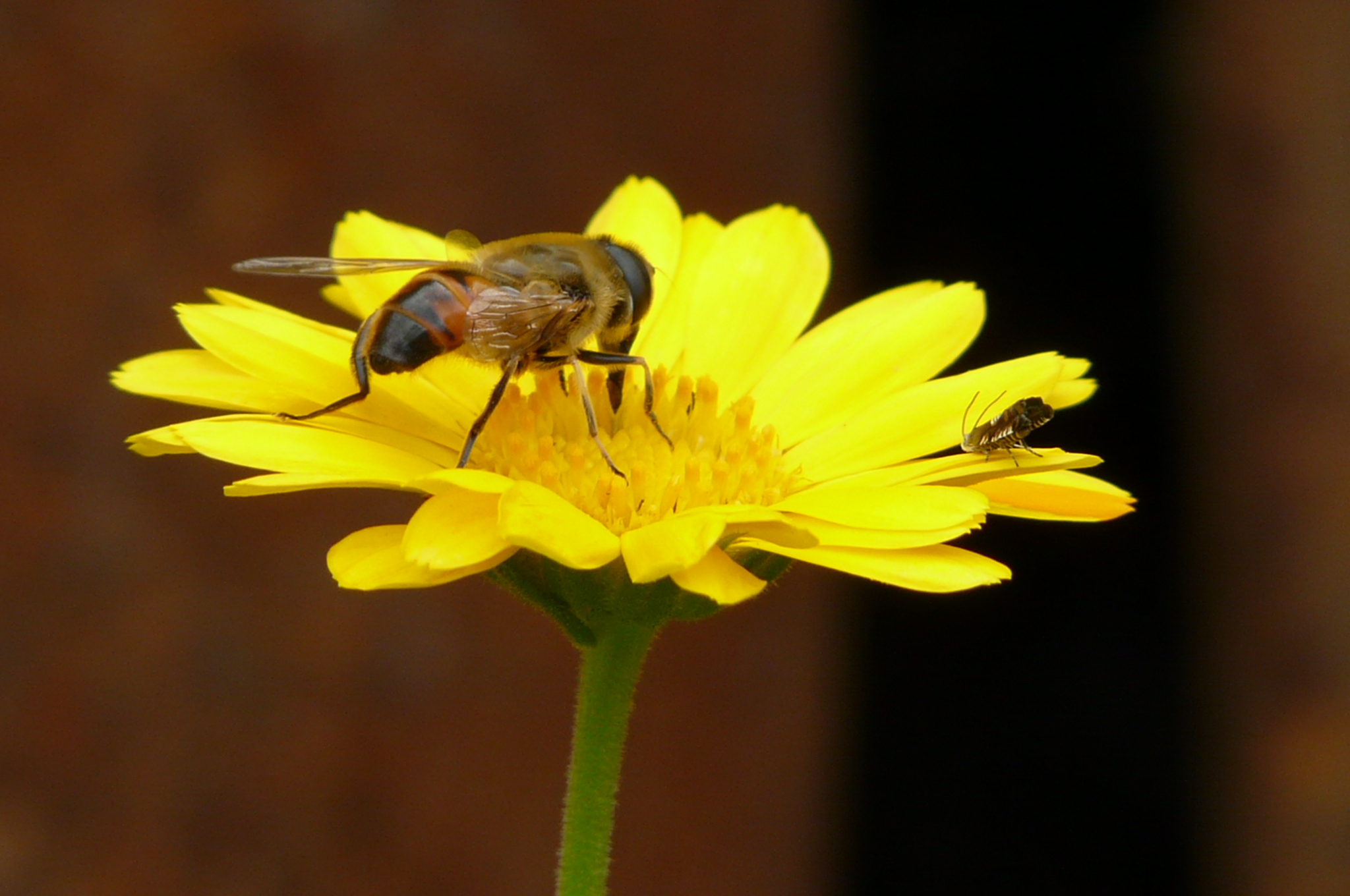 20451 Screensavers and Wallpapers Bees for phone. Download Plants, Flowers, Insects, Bees pictures for free