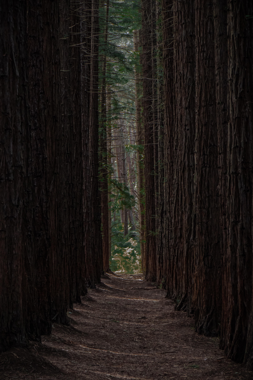 55272 скачать обои Природа, Лес, Деревья, Ряды, Тропинка, Сосны - заставки и картинки бесплатно
