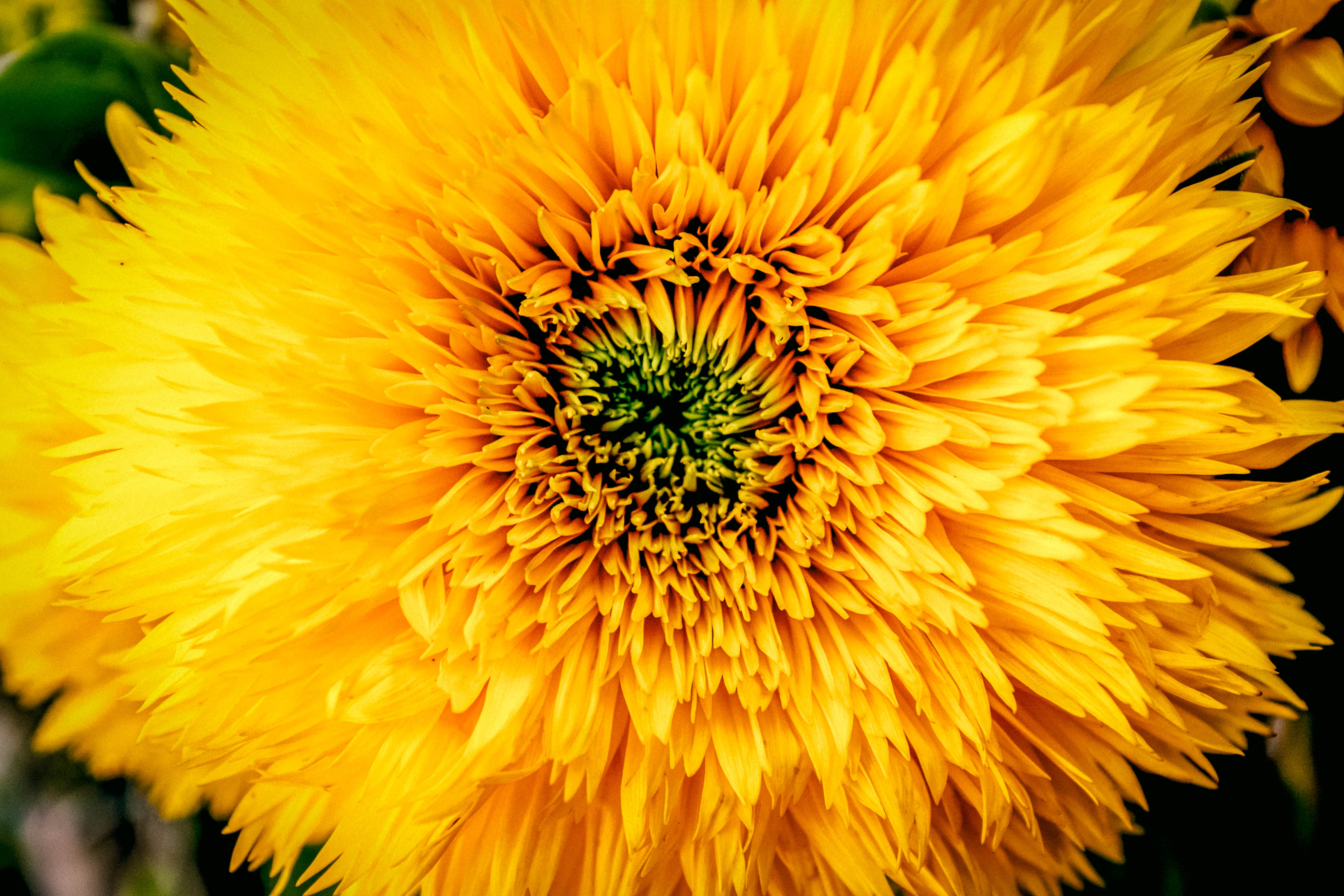 80276 download wallpaper Flowers, Chrysanthemum, Petals, Bud screensavers and pictures for free