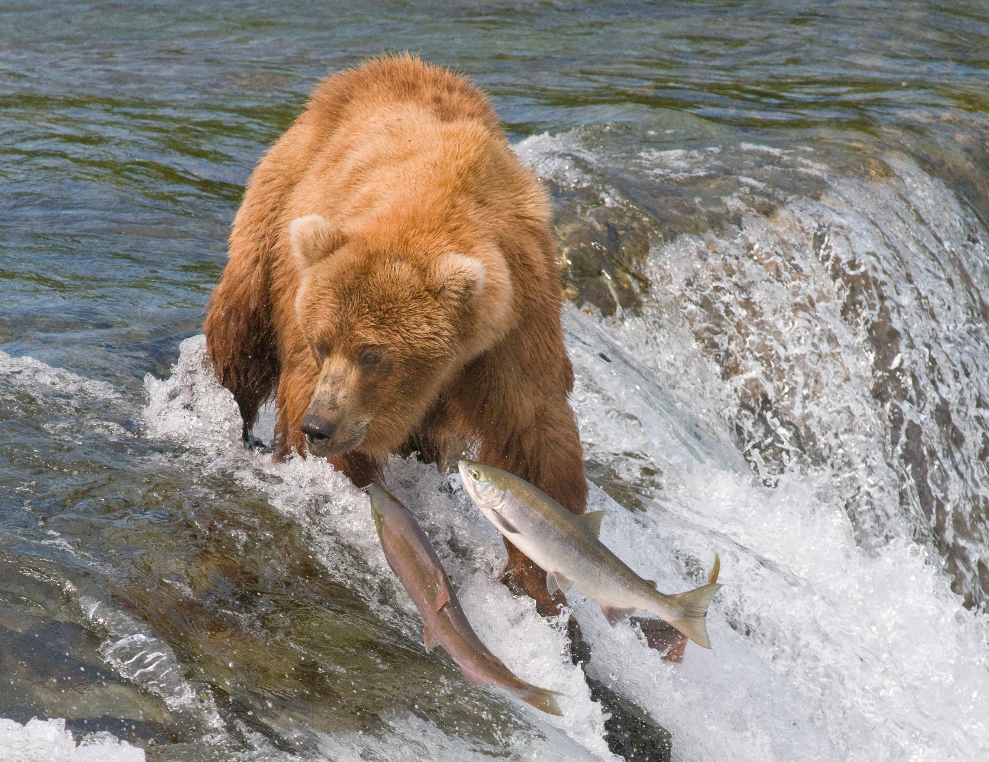 111835 Заставки и Обои Рыбы на телефон. Скачать Рыбы, Животные, Вода, Река, Медведь, Ловля картинки бесплатно