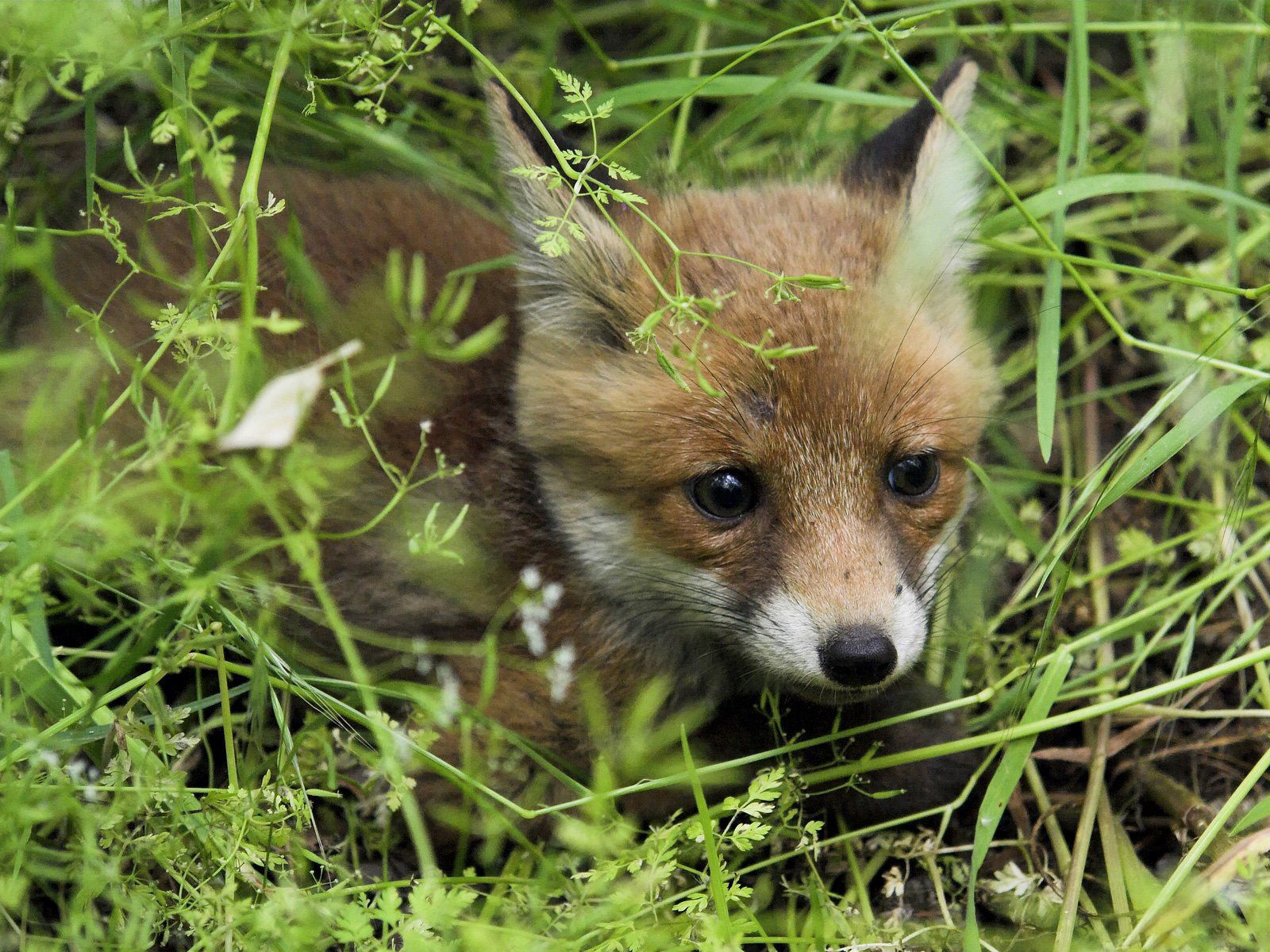 144528 download wallpaper Animals, Fox, Grass, Young, Joey screensavers and pictures for free