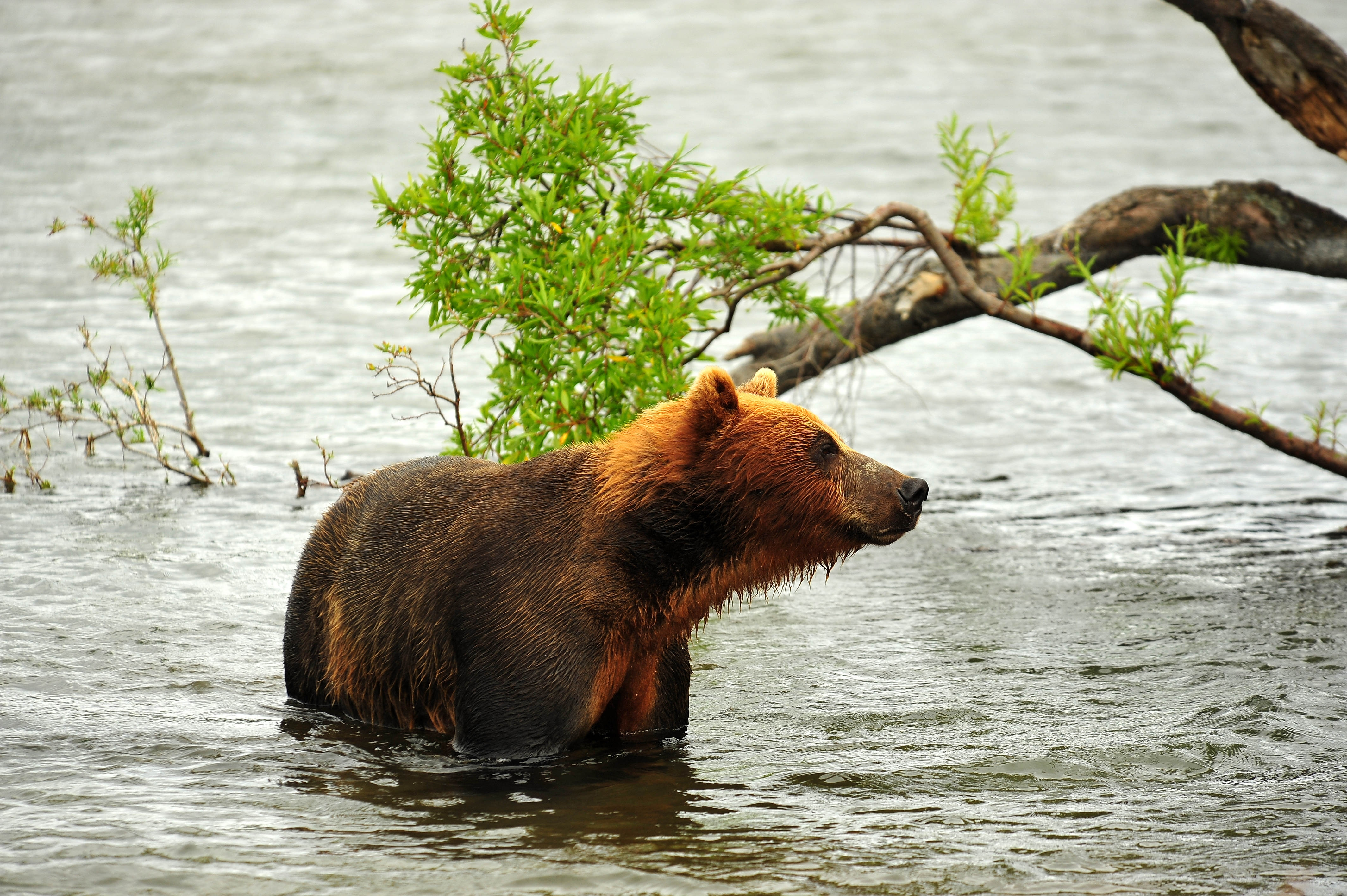 95476 download wallpaper Animals, Bear, Hunting, Hunt, Predator, Rivers screensavers and pictures for free