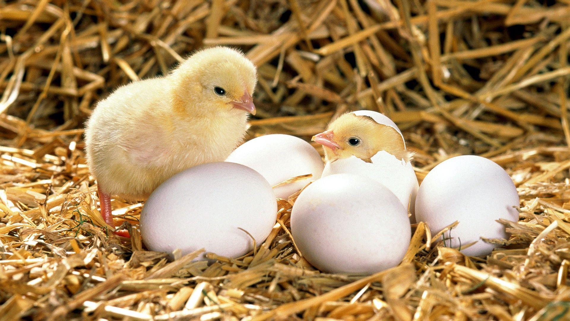 57241 Заставки и Обои Яйца на телефон. Скачать Животные, Яйца, Скорлупа, Цыпленок, Сено, Вылупляться картинки бесплатно