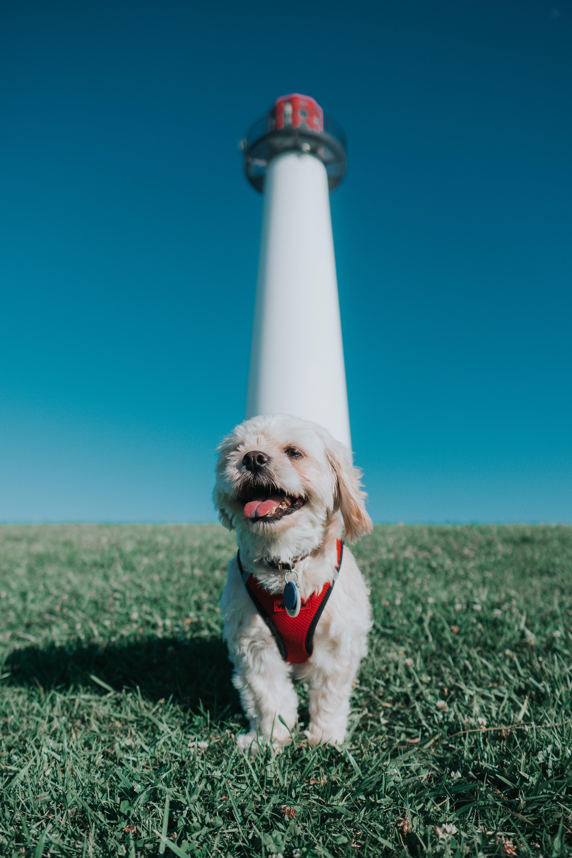 136313 download wallpaper Animals, Kawachon Kawapu, Kawashon Kawapu, Dog, Puppy, Protruding Tongue, Tongue Stuck Out, Lighthouse, Grass screensavers and pictures for free
