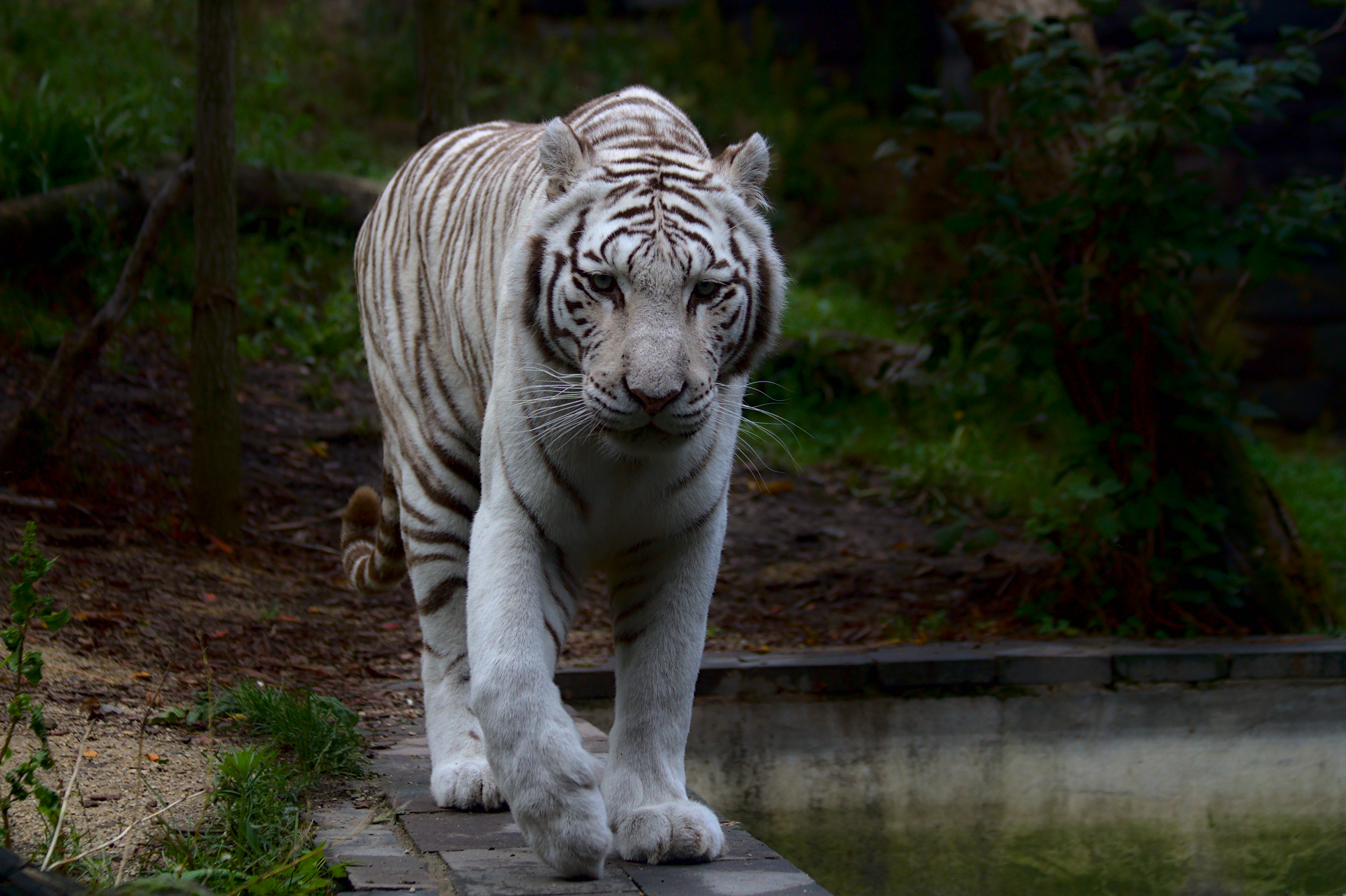 117792 download wallpaper Animals, White Tiger, Tiger, Predator, Big Cat screensavers and pictures for free