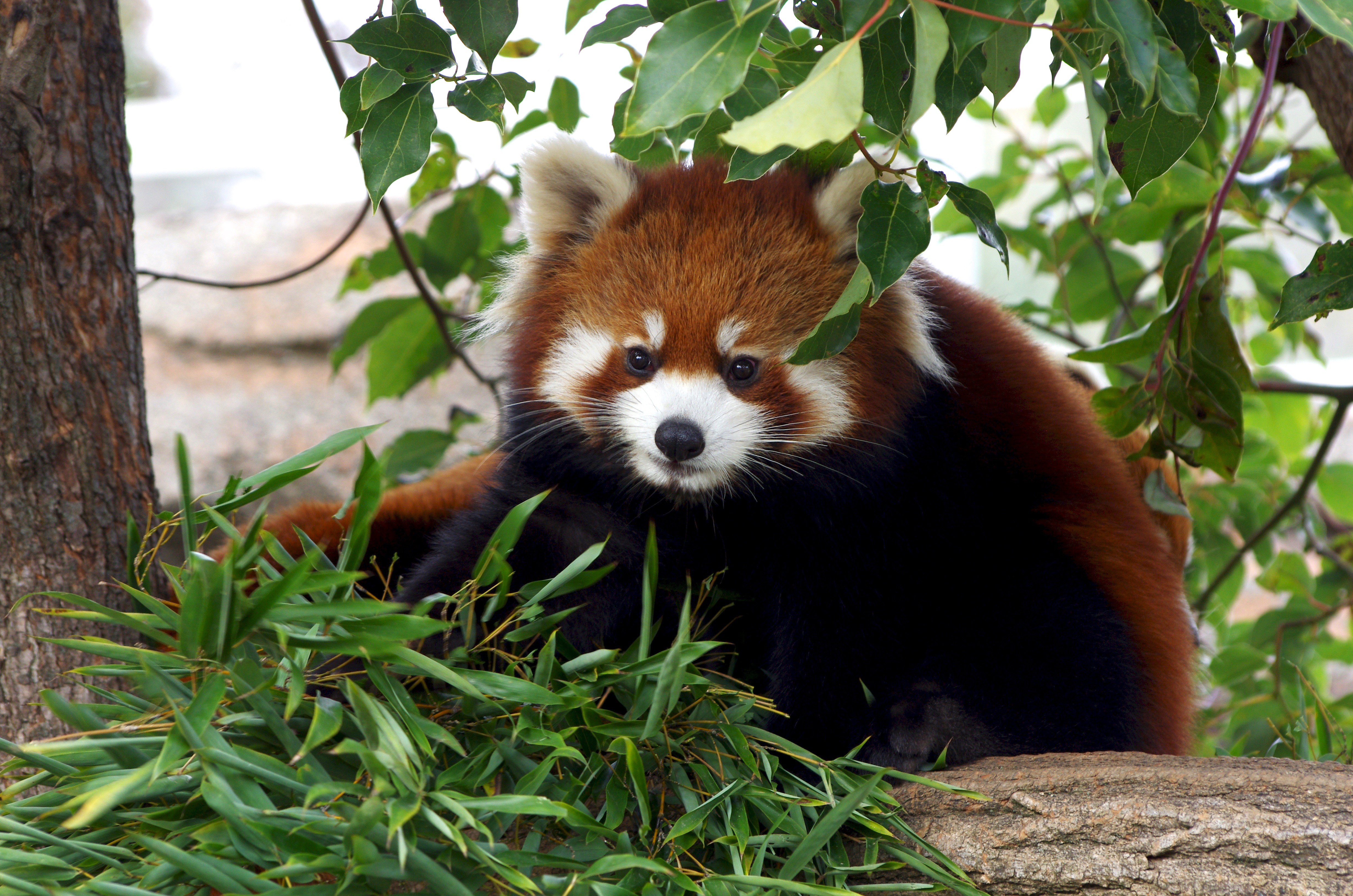 87387 download wallpaper Animals, Red Panda, Nice, Sweetheart, Bamboo, Grass screensavers and pictures for free