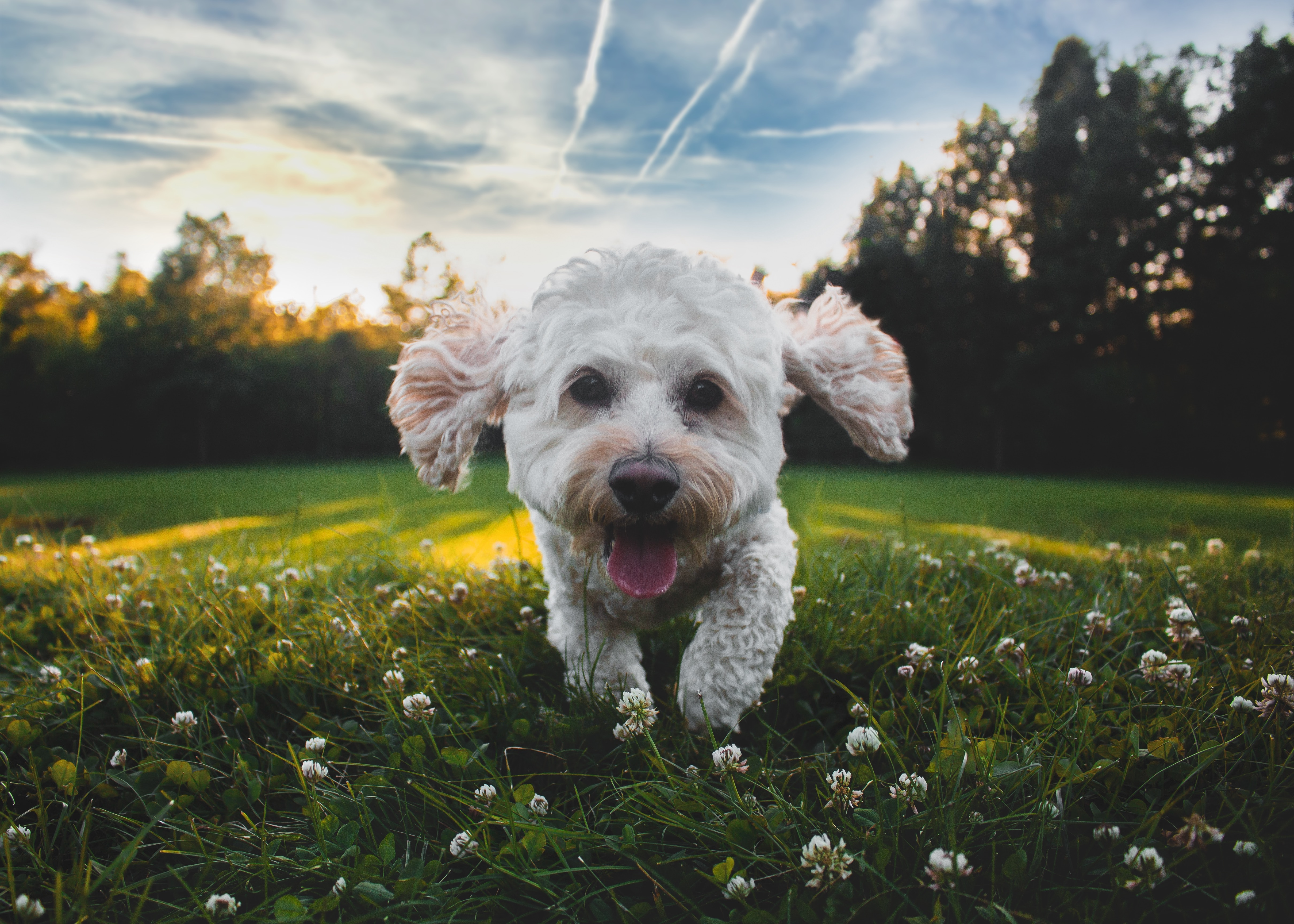 99025 Screensavers and Wallpapers Pet for phone. Download Animals, Dog, Protruding Tongue, Tongue Stuck Out, Mila, Nice, Shaggy, Pet pictures for free