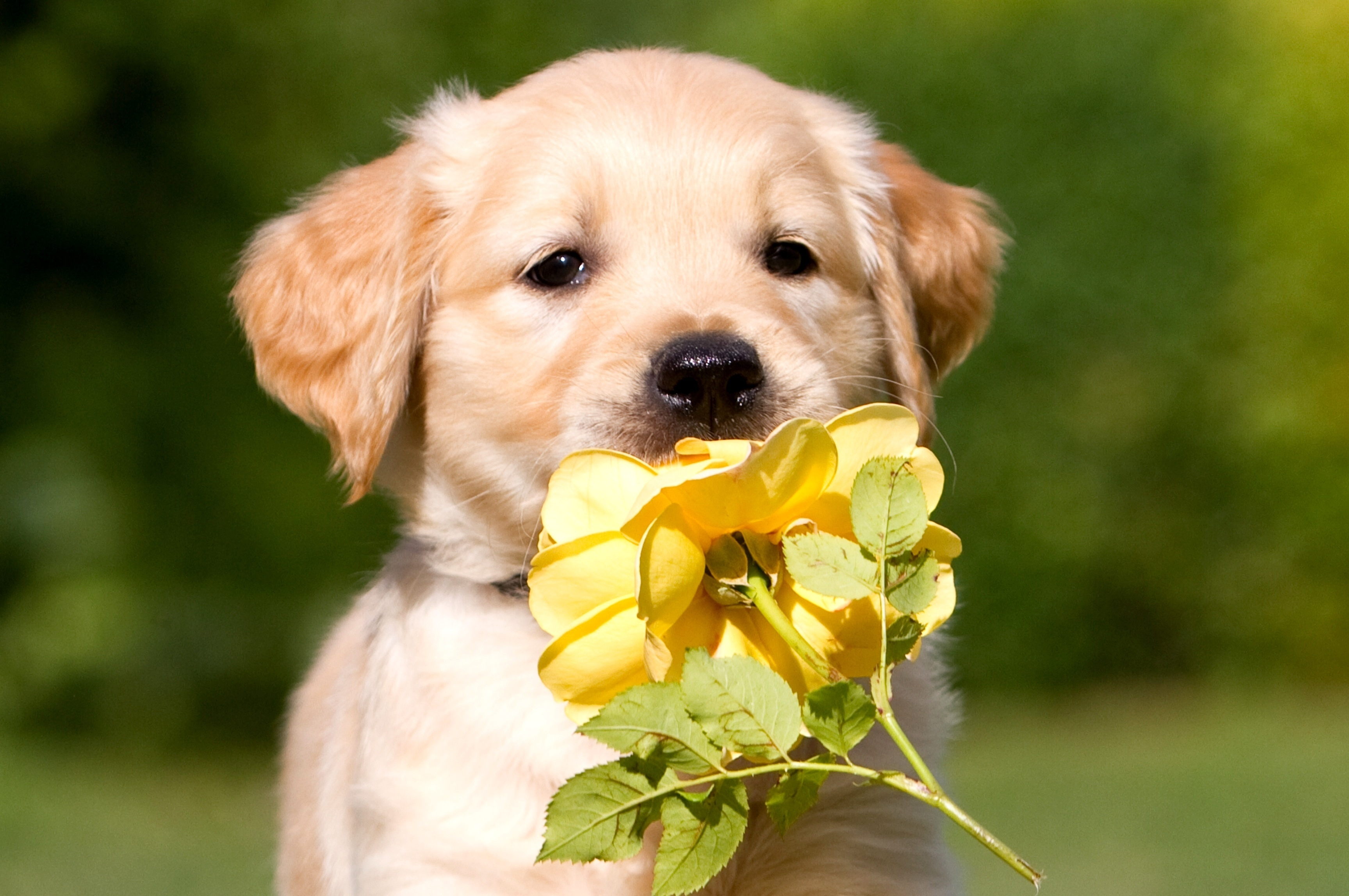 136007 Screensavers and Wallpapers Puppy for phone. Download Animals, Flower, Petals, Puppy, Retriever pictures for free