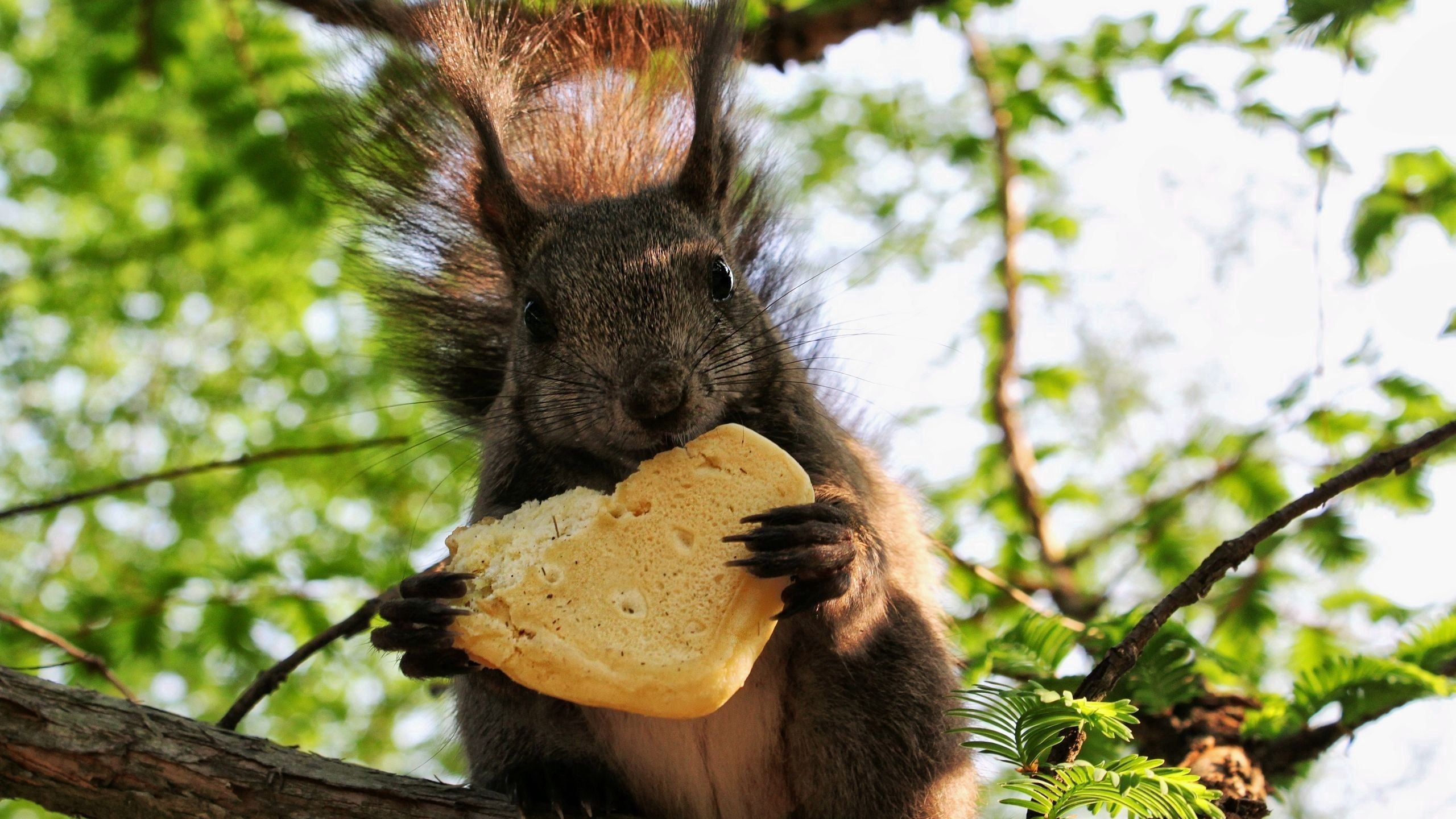 58821 download wallpaper Animals, Squirrel, Food, Cookies screensavers and pictures for free