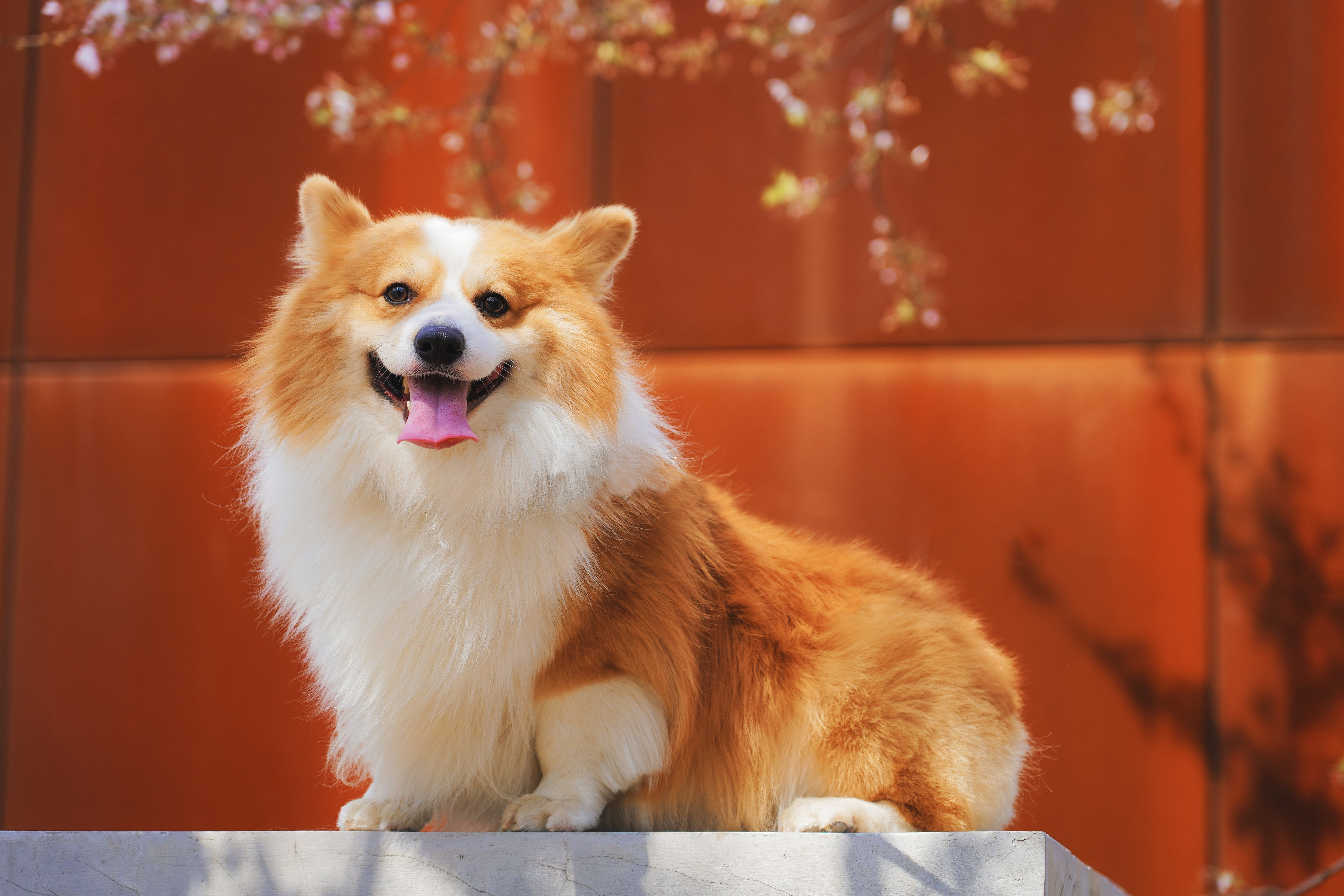 106088 download wallpaper Animals, Welsh Corgi Pembroke, Welsh Corgi, Dog, Protruding Tongue, Tongue Stuck Out, Redhead, Satisfied, Content screensavers and pictures for free