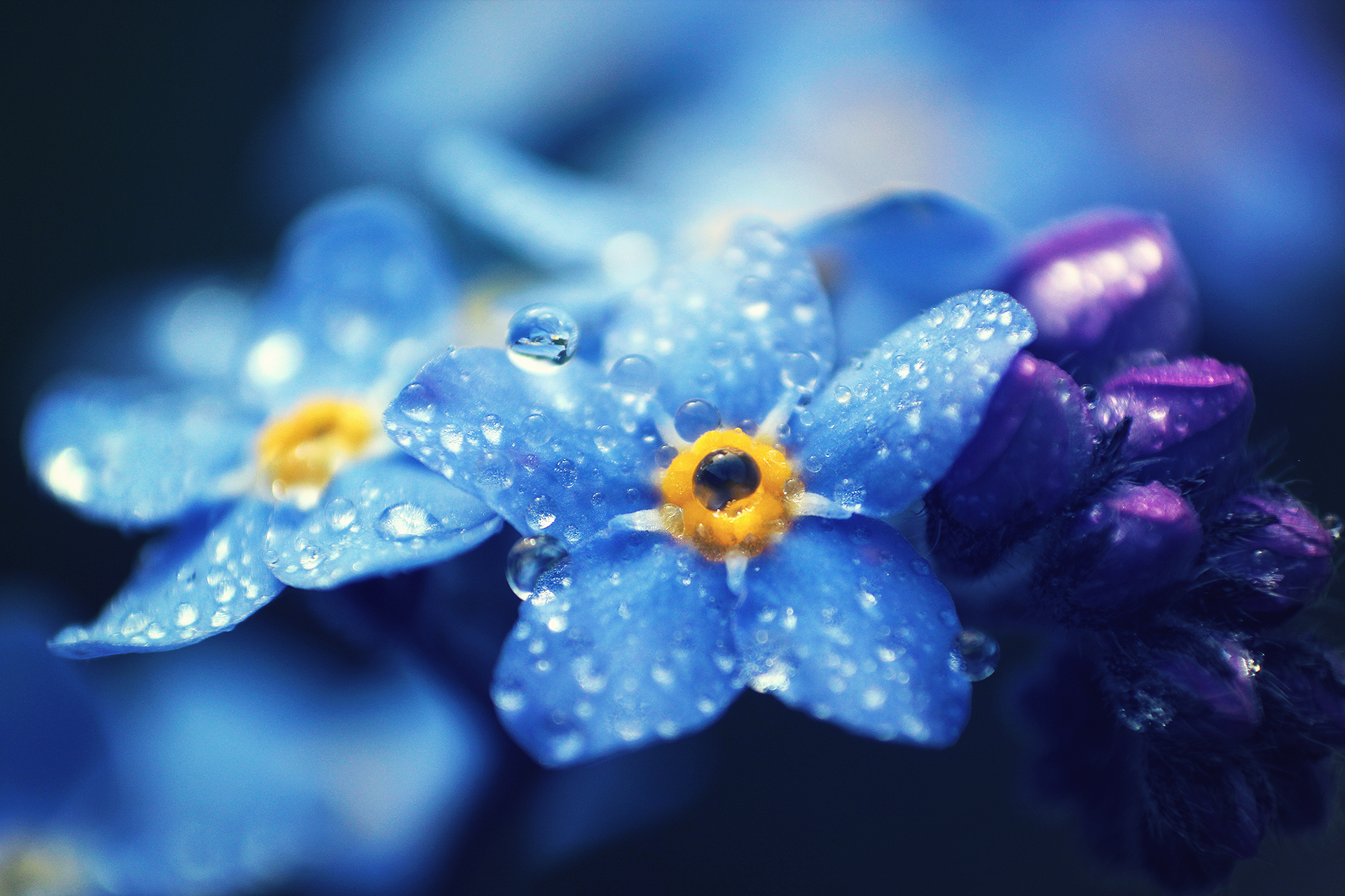 111431 Screensavers and Wallpapers Petals for phone. Download Drops, Macro, Petals, Forget-Me-Nots pictures for free