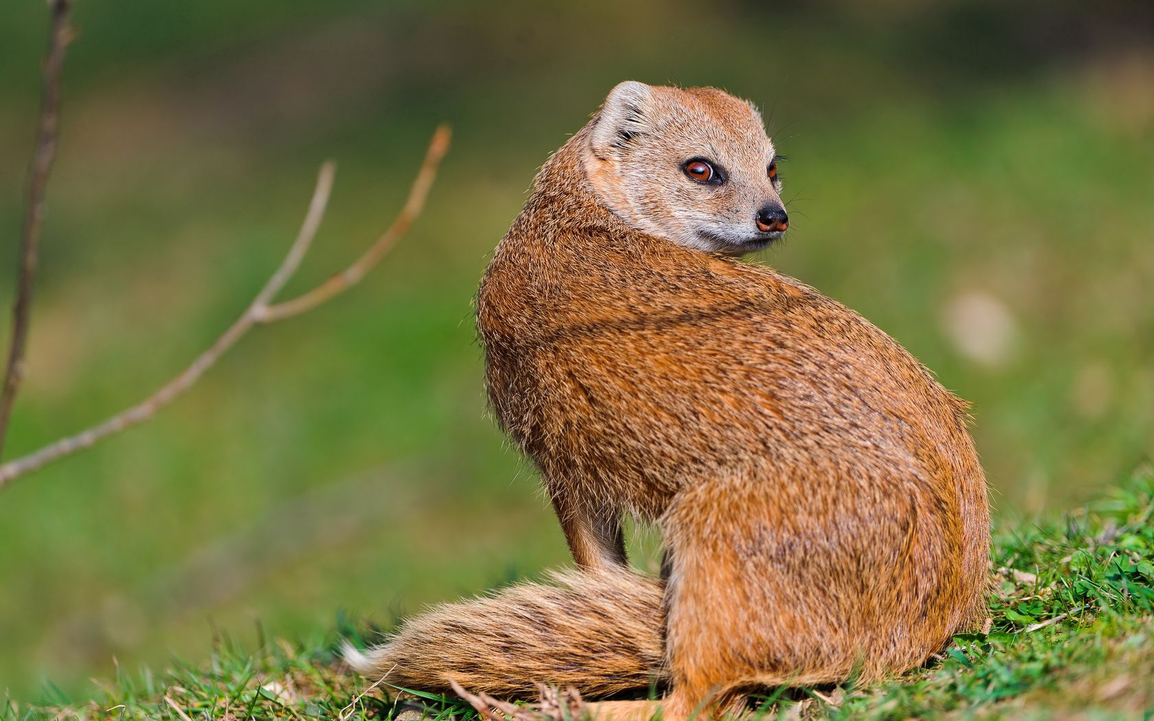 67657 download wallpaper Animals, Mangus, Grass, Animal, Look Around, Look Back screensavers and pictures for free