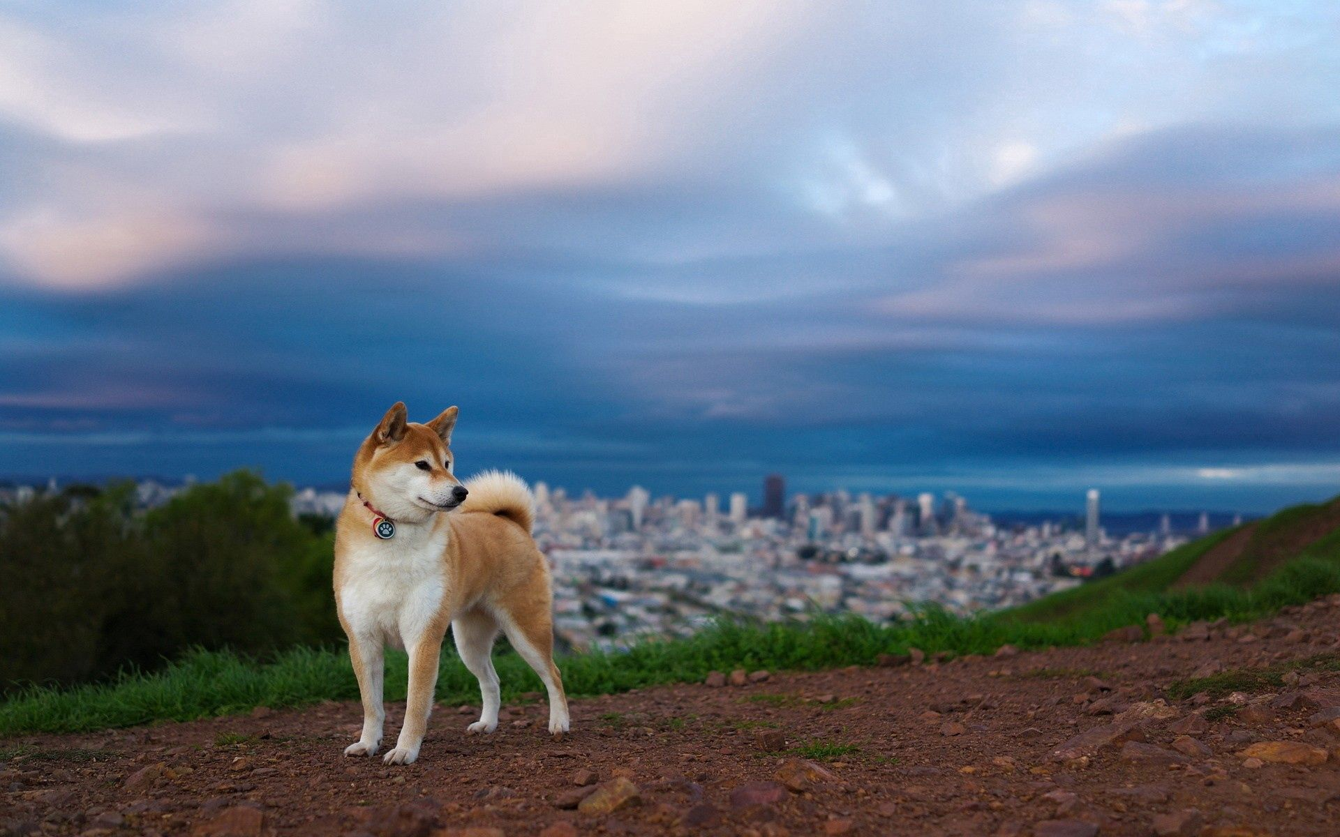 137207 Screensavers and Wallpapers Dog for phone. Download Animals, Akita Inu, Elevation, Dog, Nature pictures for free