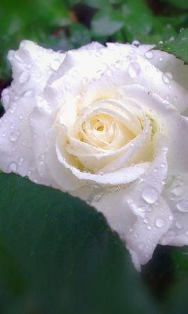2487 скачать обои Растения, Цветы, Розы - заставки и картинки бесплатно