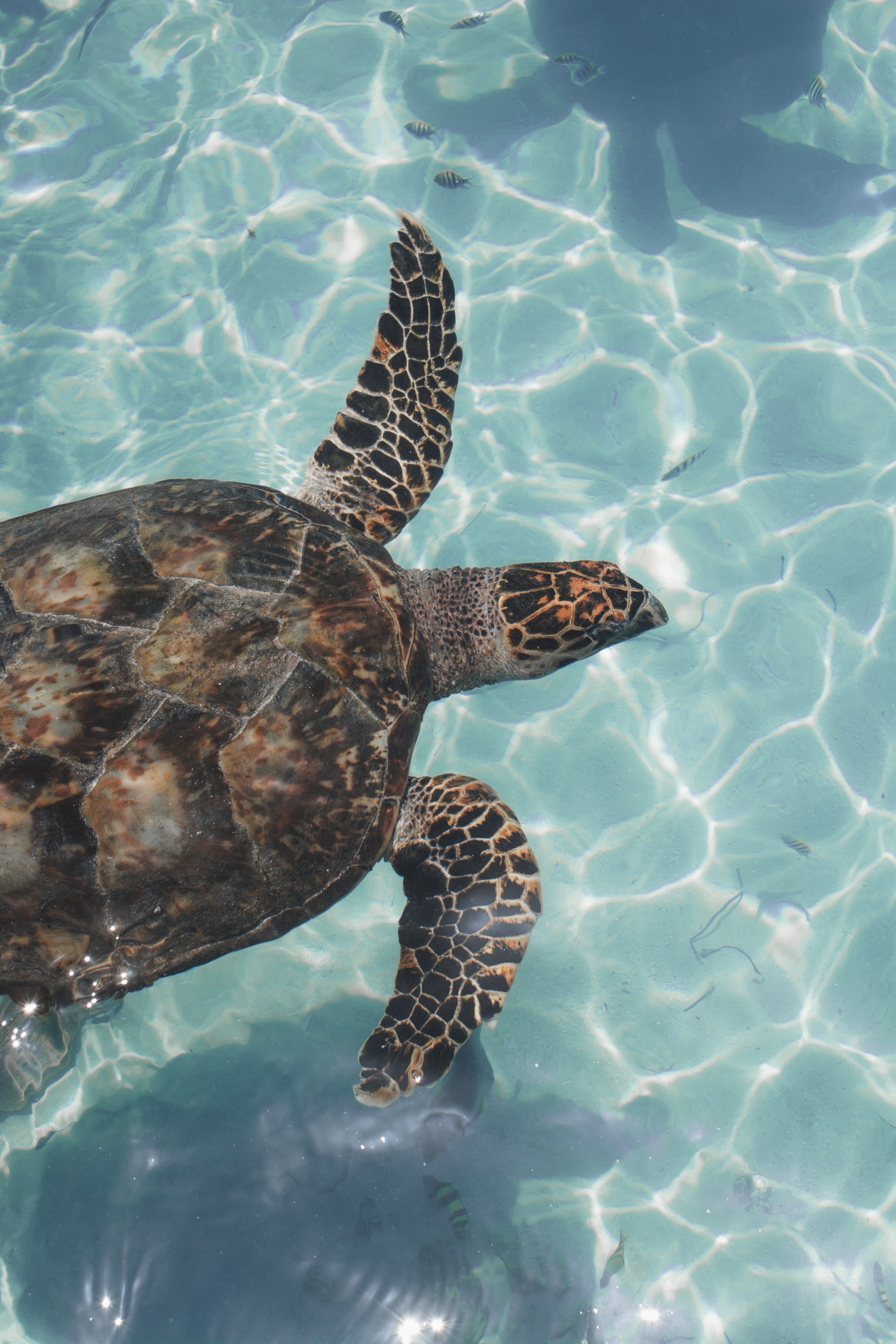142620 download wallpaper Animals, Turtle, Water, To Swim, Swim, Waves, Fishes screensavers and pictures for free