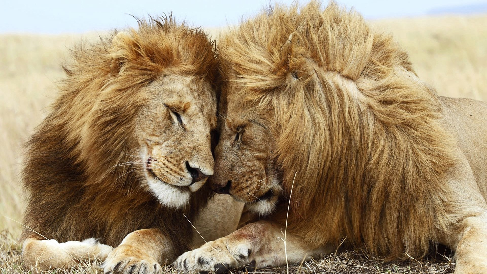 106234 Screensavers and Wallpapers Cats for phone. Download Animals, Lion, Cats, Couple, Pair, Mane, Relaxation, Rest pictures for free