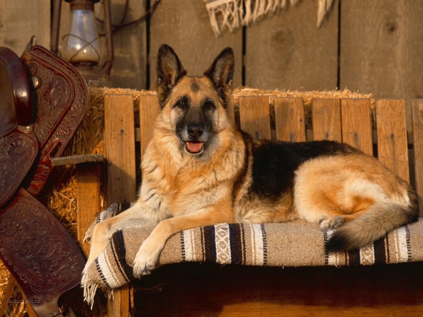 25015 скачать обои Собаки, Животные - заставки и картинки бесплатно