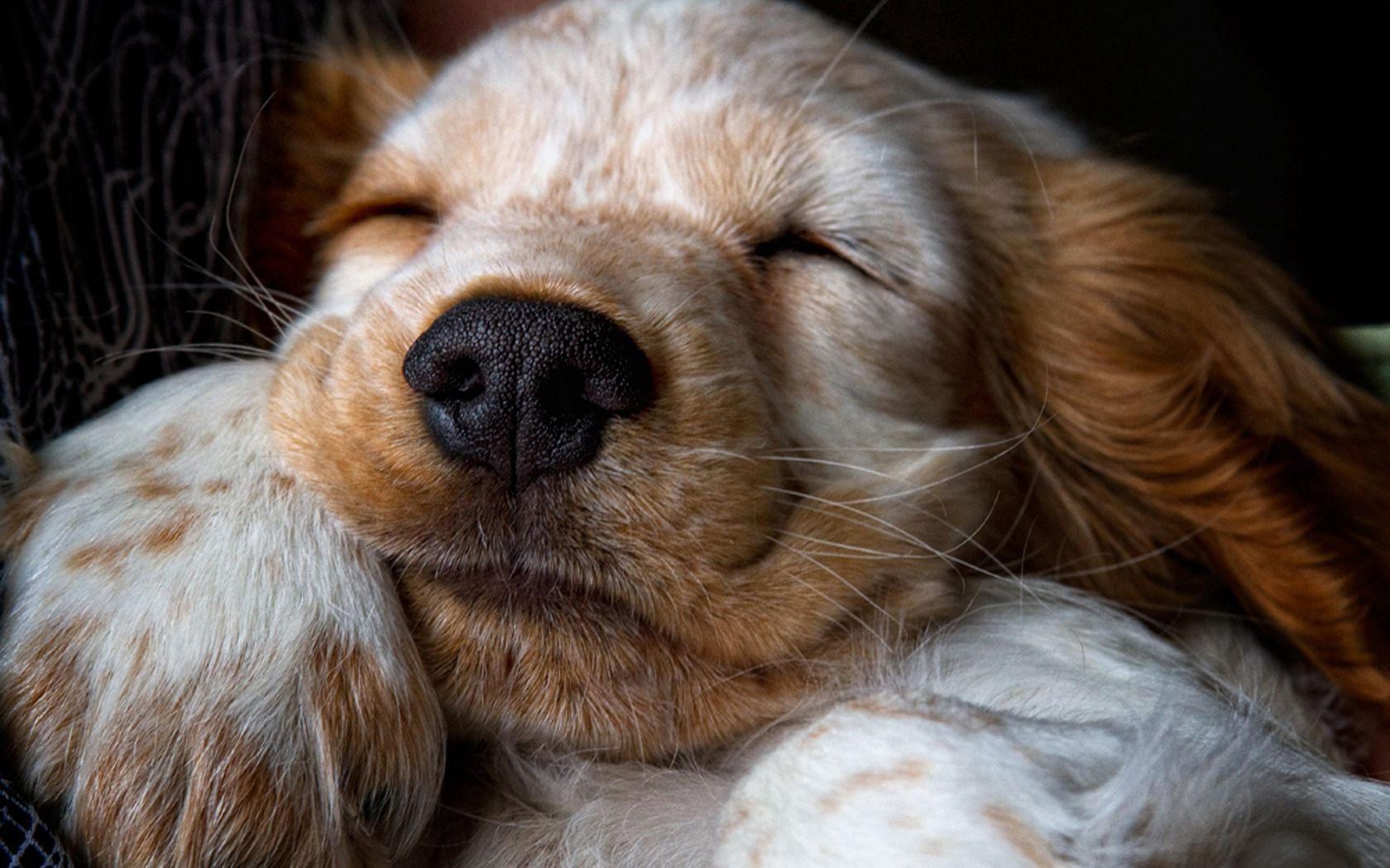 99540 Screensavers and Wallpapers Nose for phone. Download Animals, Muzzle, Puppy, Sleep, Dream, Nose pictures for free